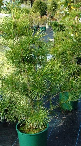 japanese umbrella pine on sale.jpg