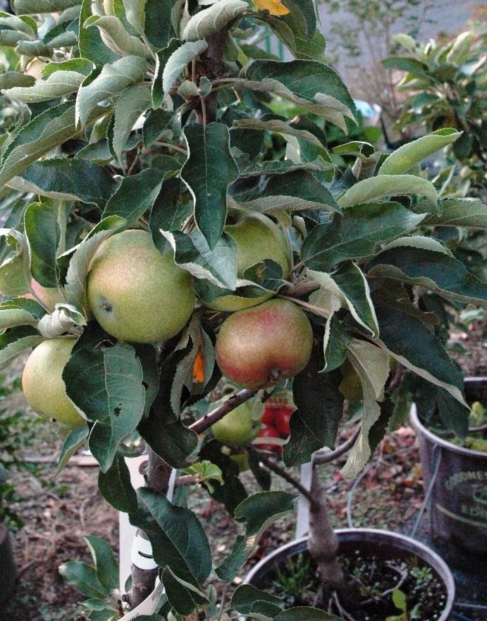 apple ttree scarlet sentinel edit.jpg