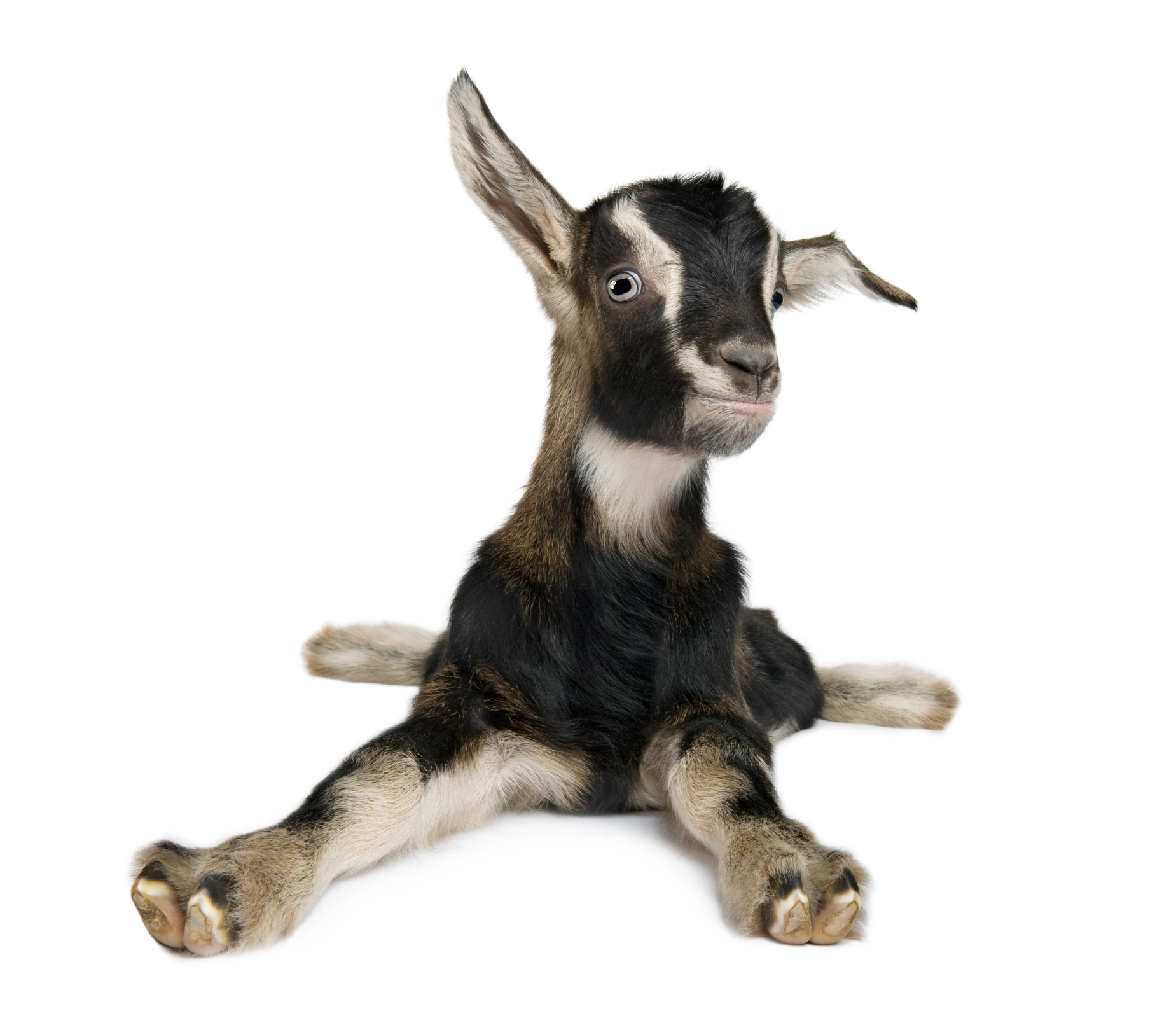 fainting goats -