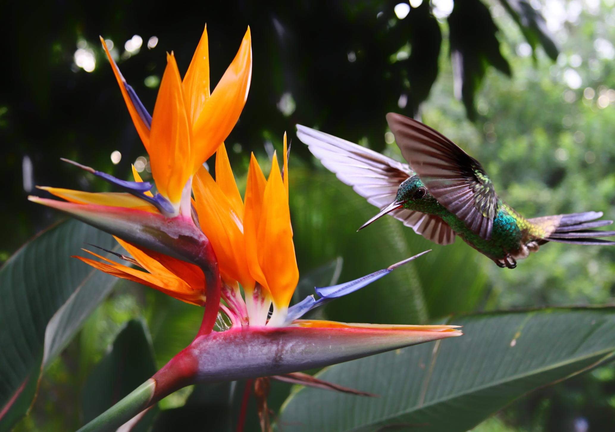orange bird of paradise -