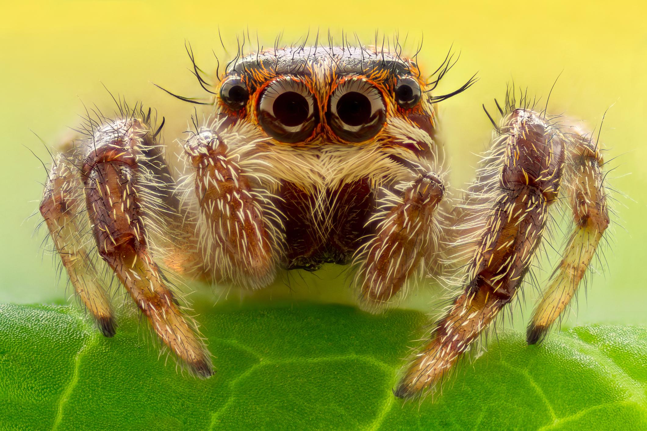grey spider -