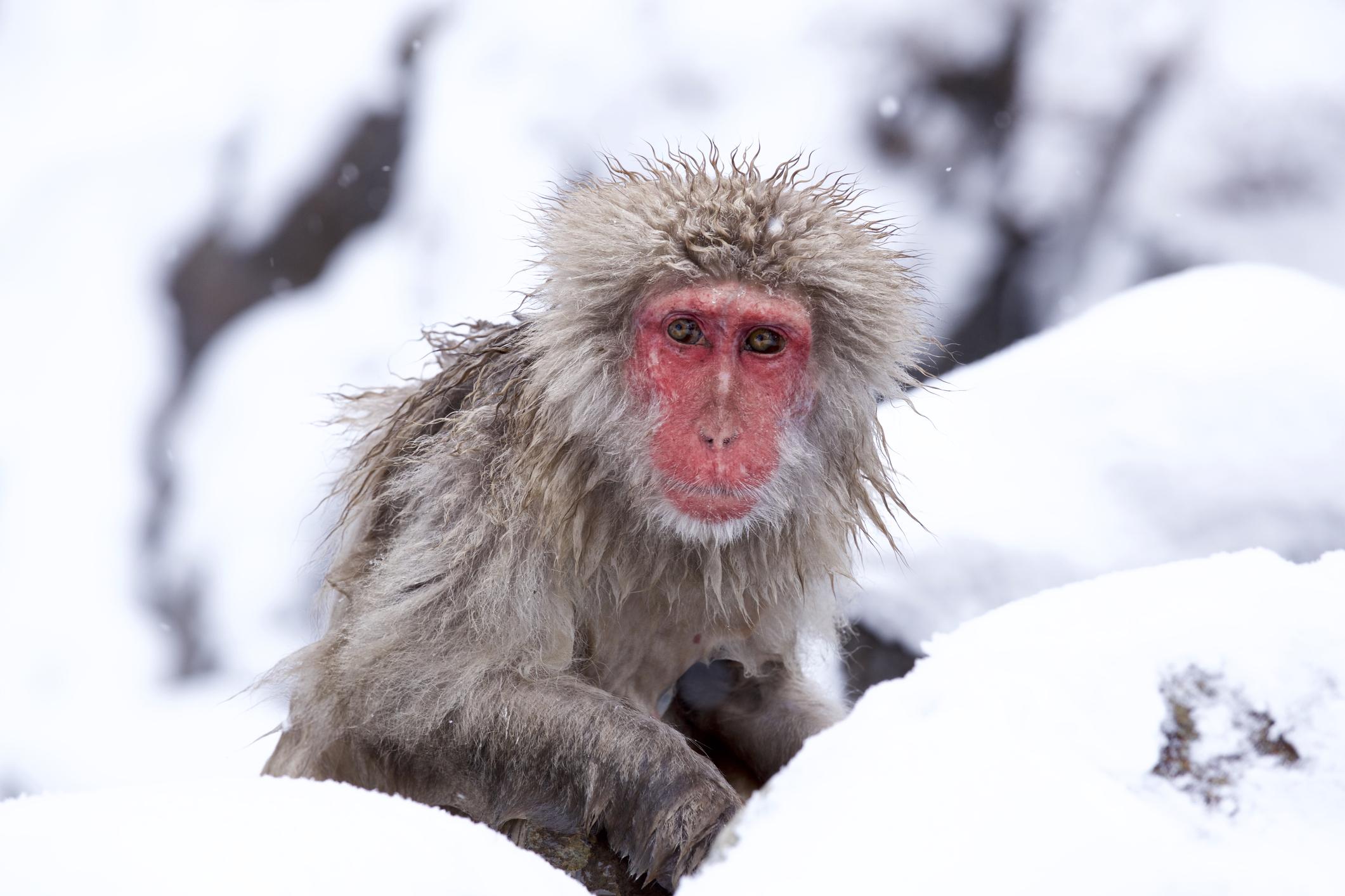 pink monkey -