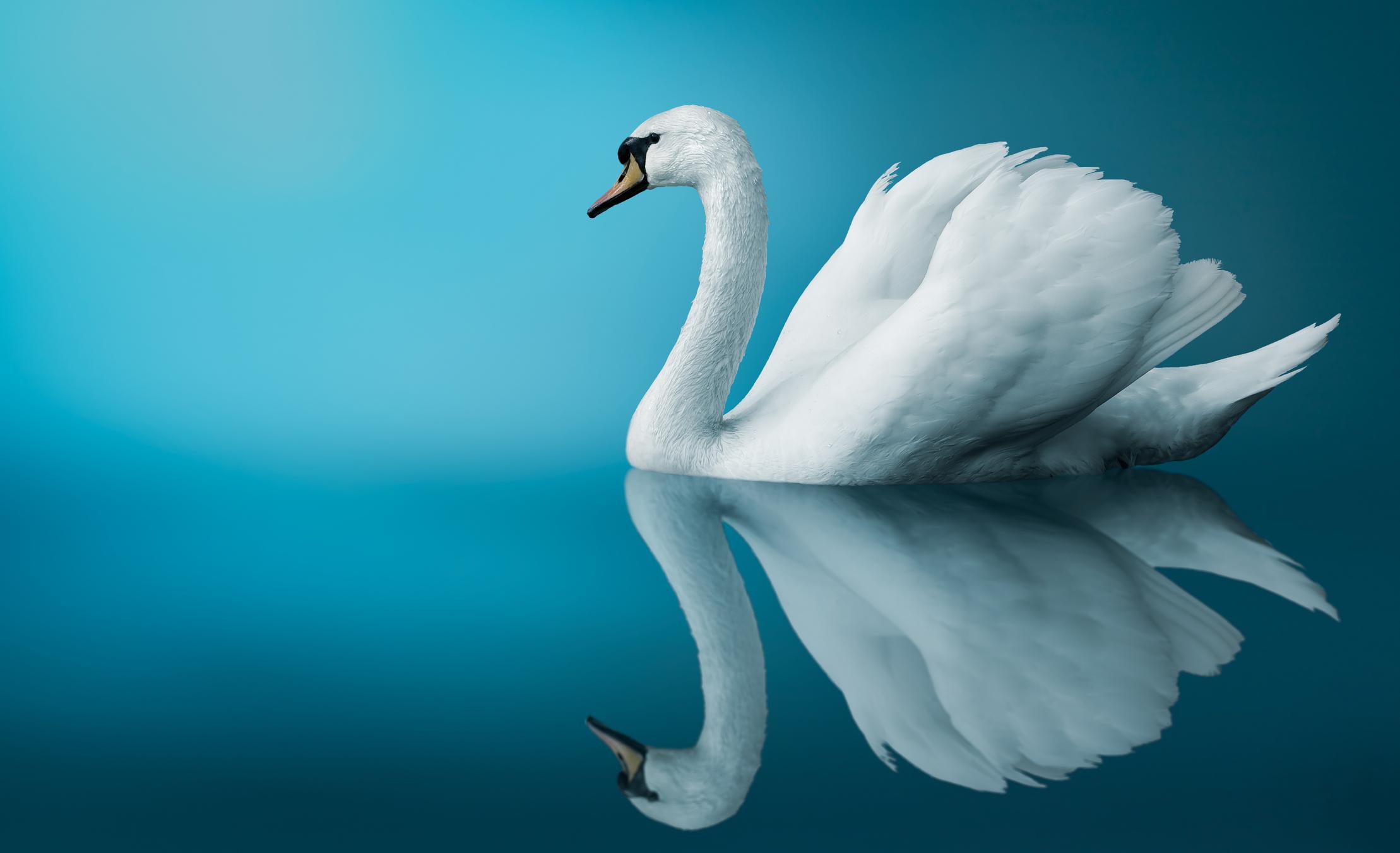 cyan swan -