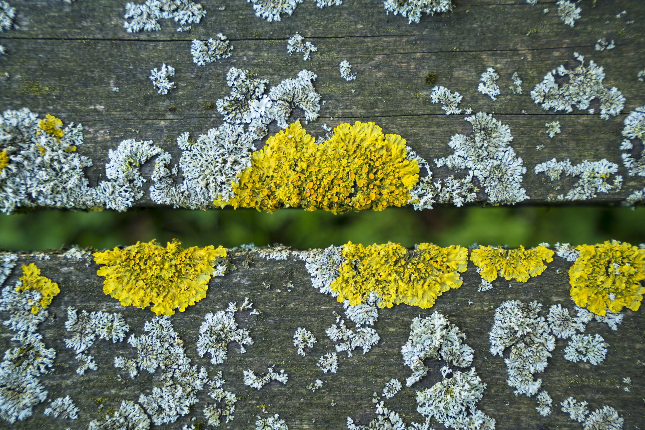 lichenology -