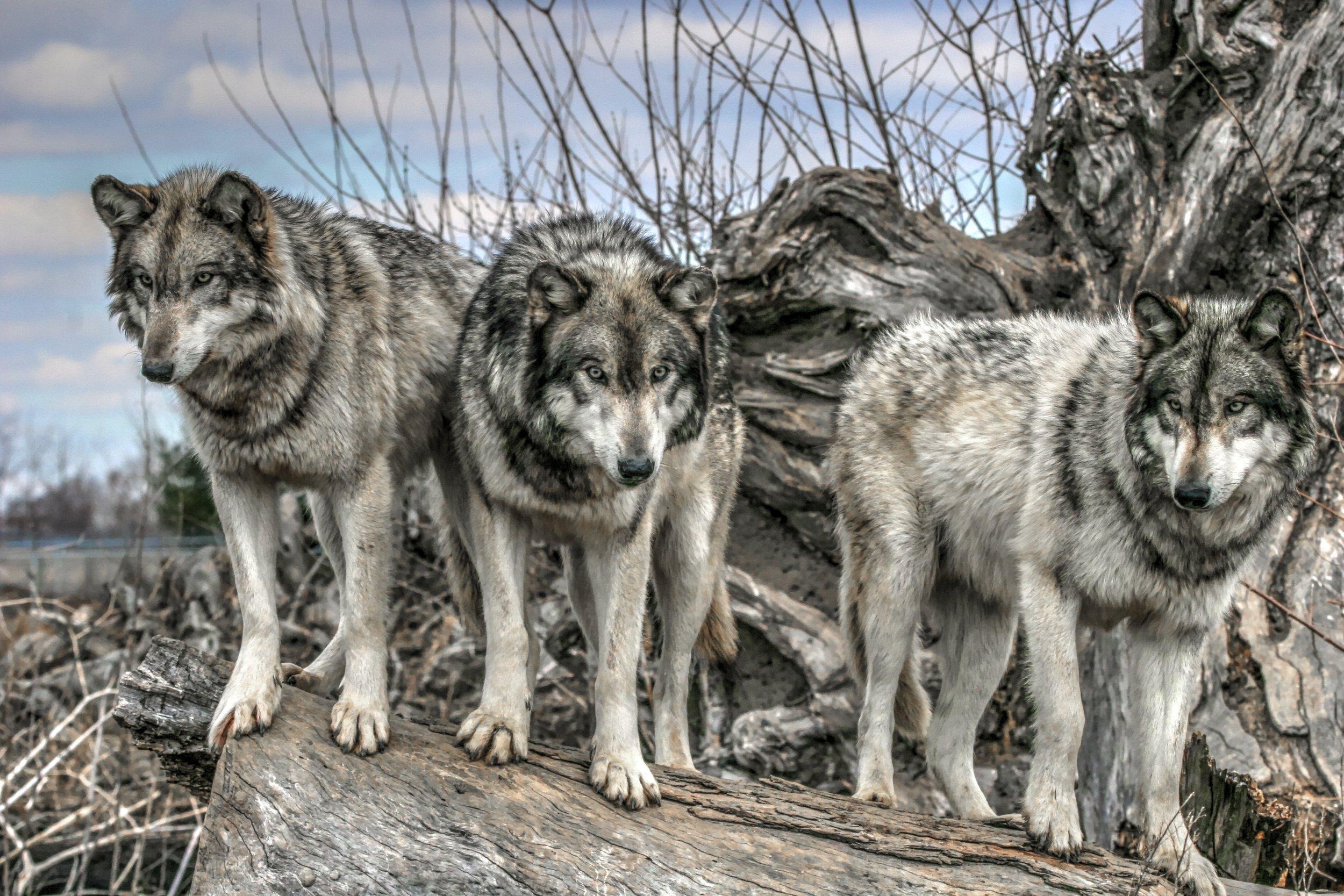 grey wolves -