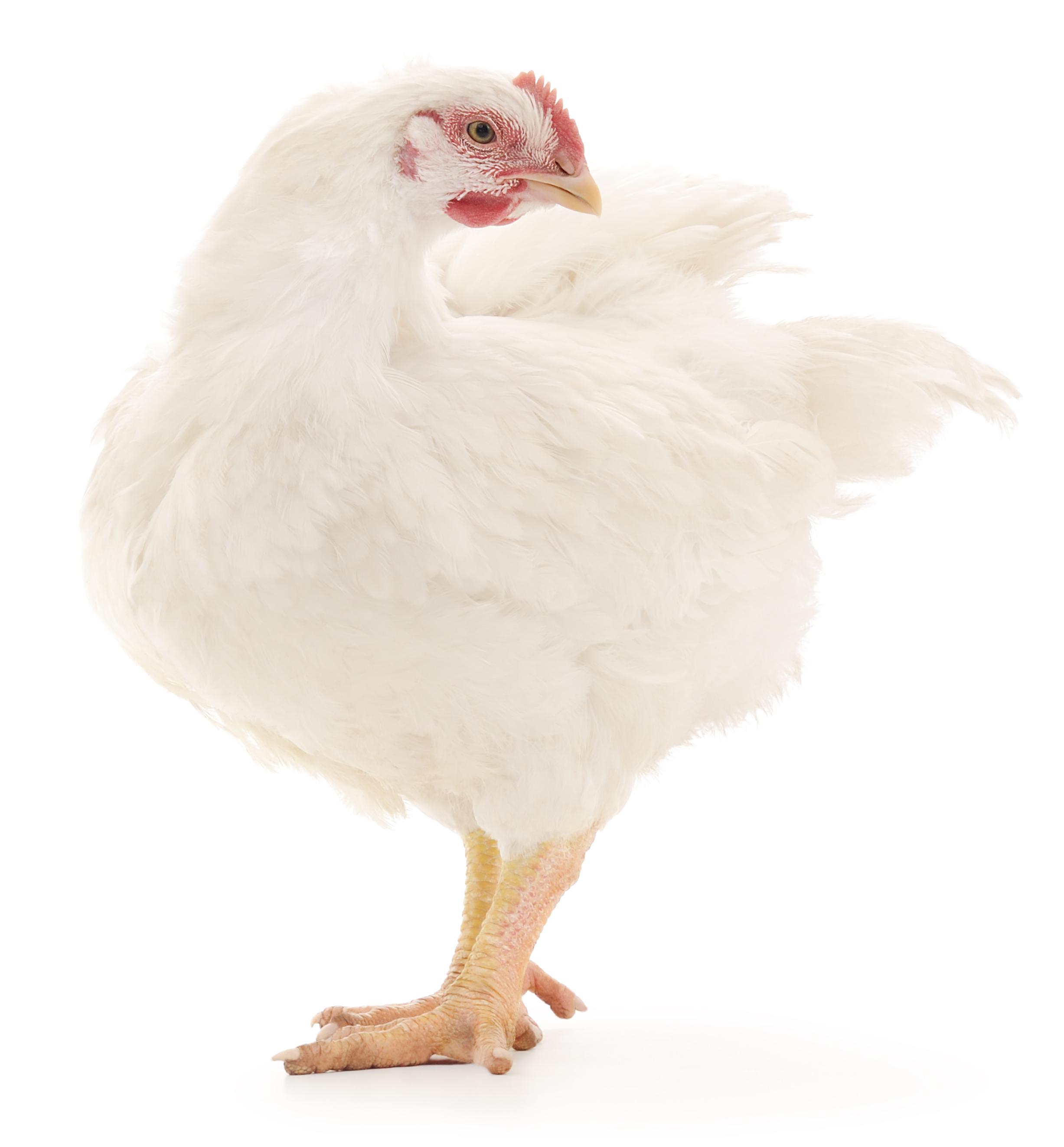 hen -
