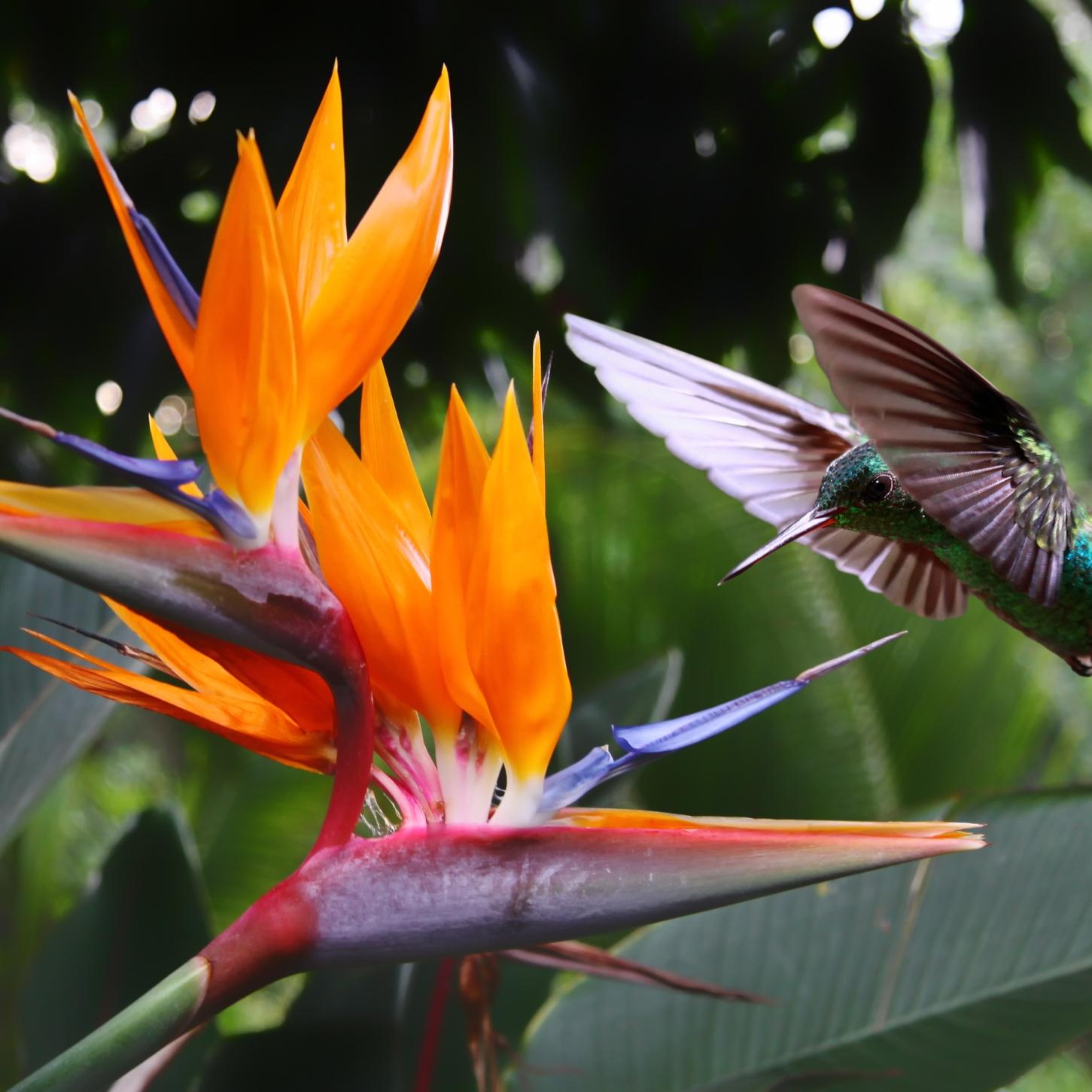 bird of paradise -