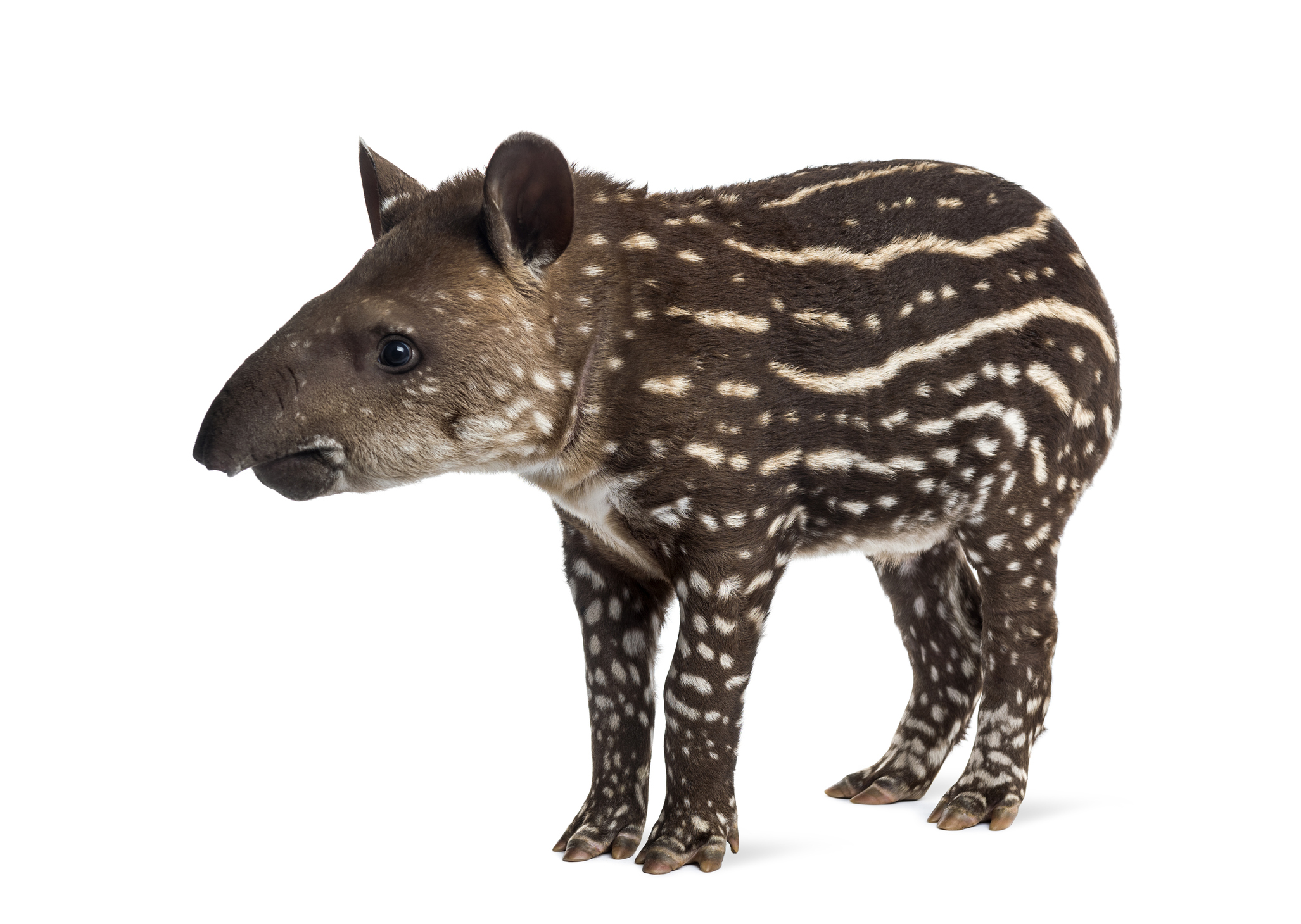 ten: Jay the Tapir - toes