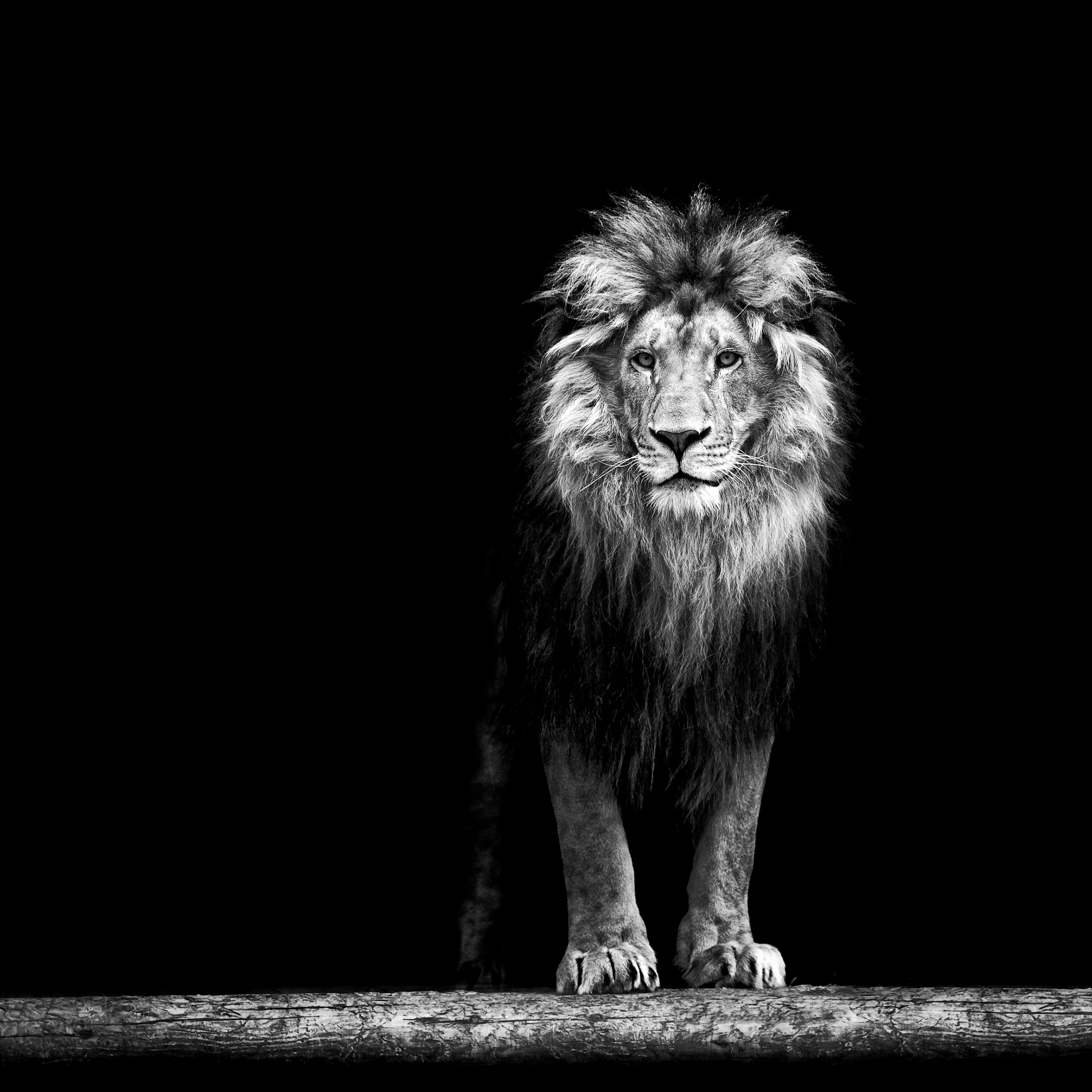 King - How do we teach male lions to shepherd sheep?