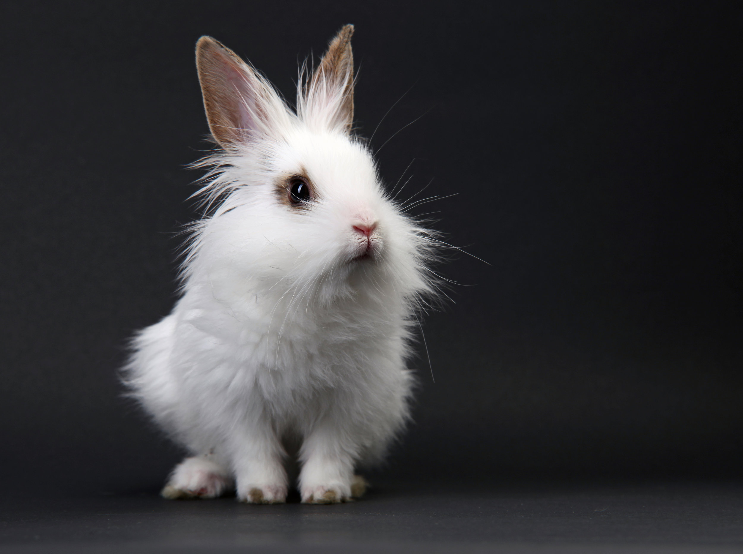 White domestic baby-rabbit on the black background