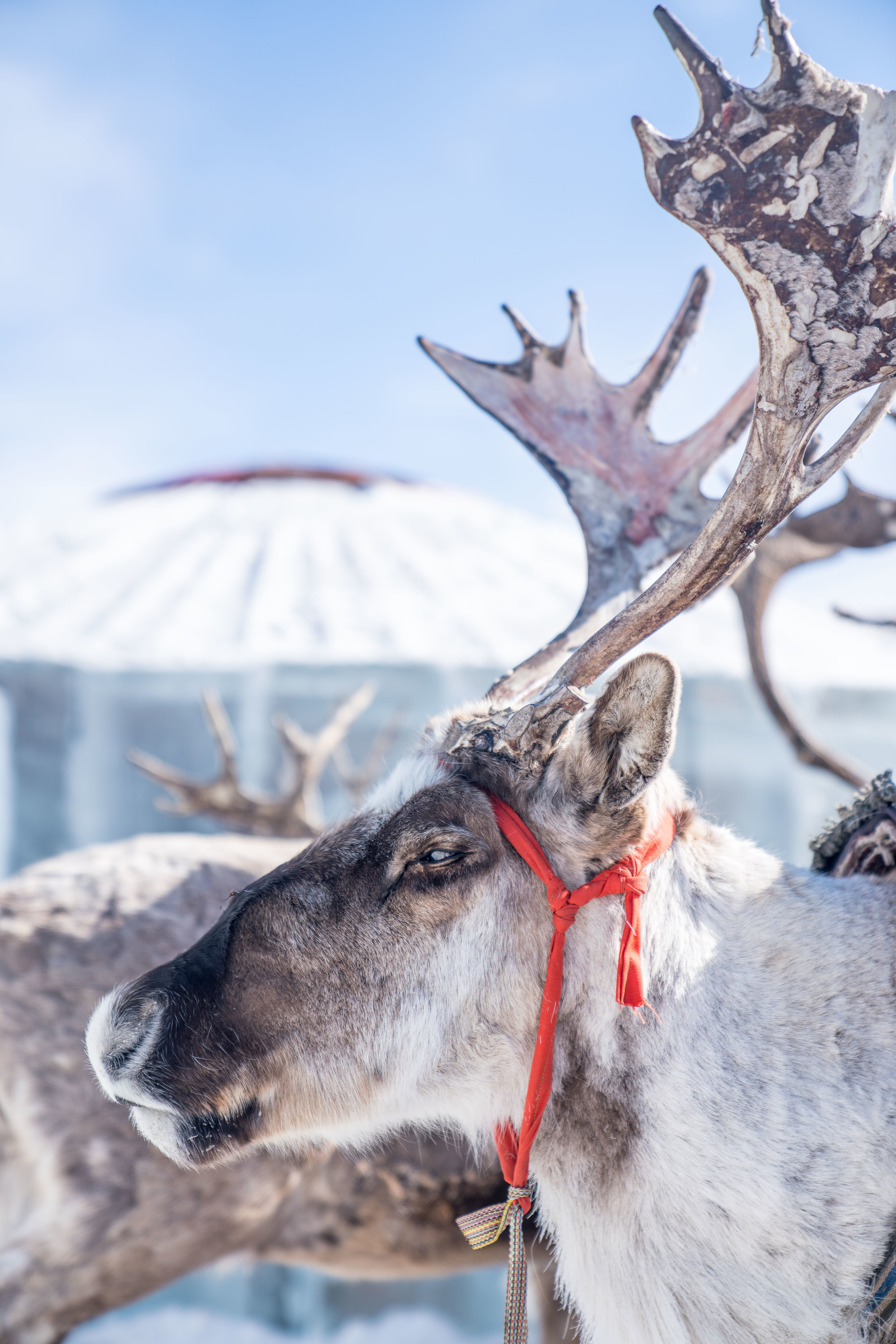 Tsaatan nomadic reindeer herders gather on Lake Khuvsgul once a year to celebrate their traditions.  -