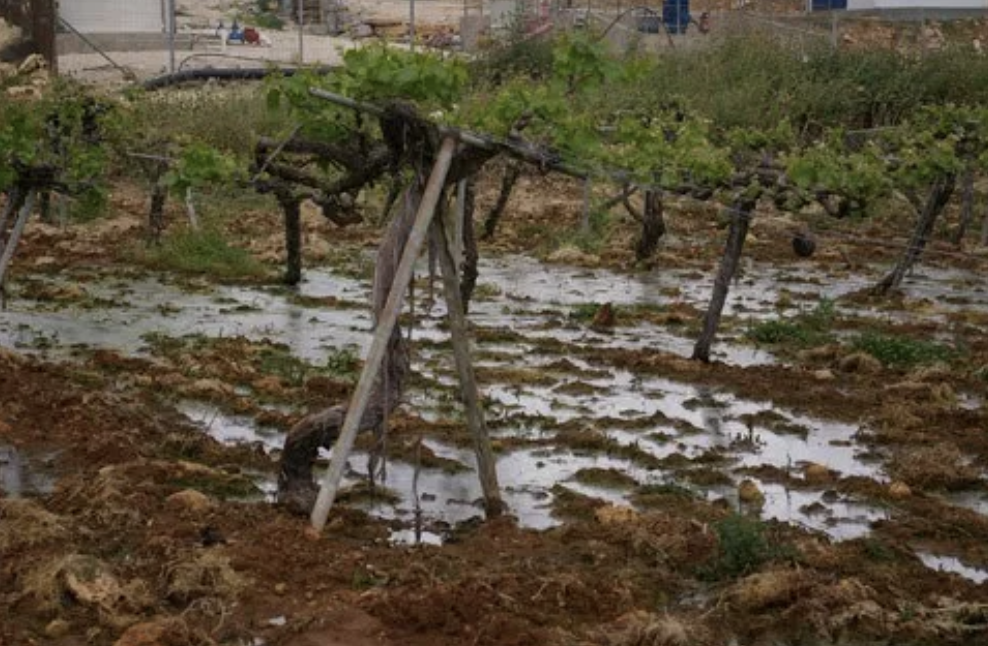 A vineyard in Beit Ummar village flooded with sewage from a nearby Israeli settlement. (Palestine Solidarity Project)