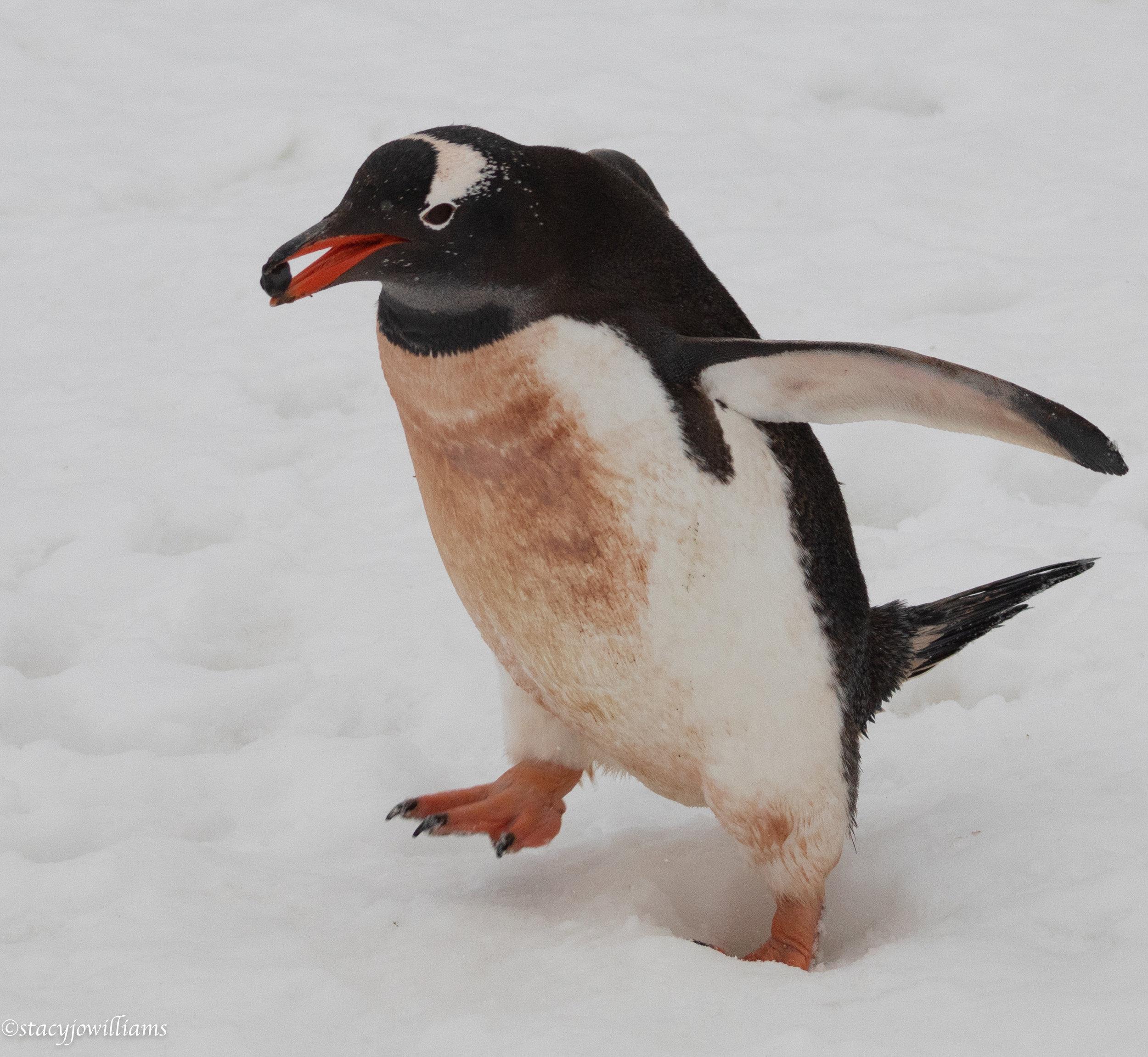 penguin pebble-5847.jpg