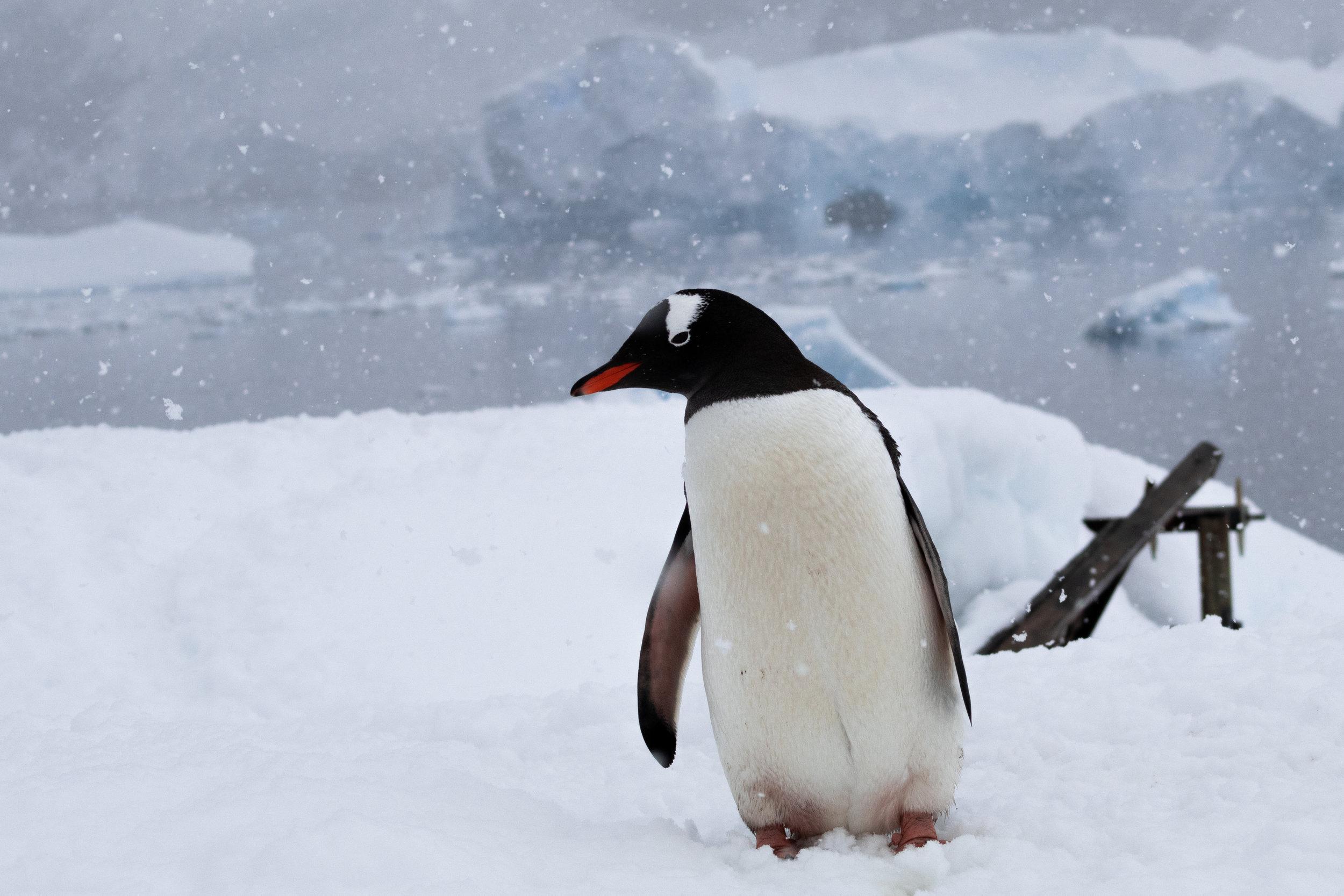penguin gentoo-5520.jpg