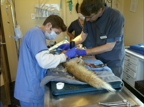 Helping an injured fox at the veterinary hospital.