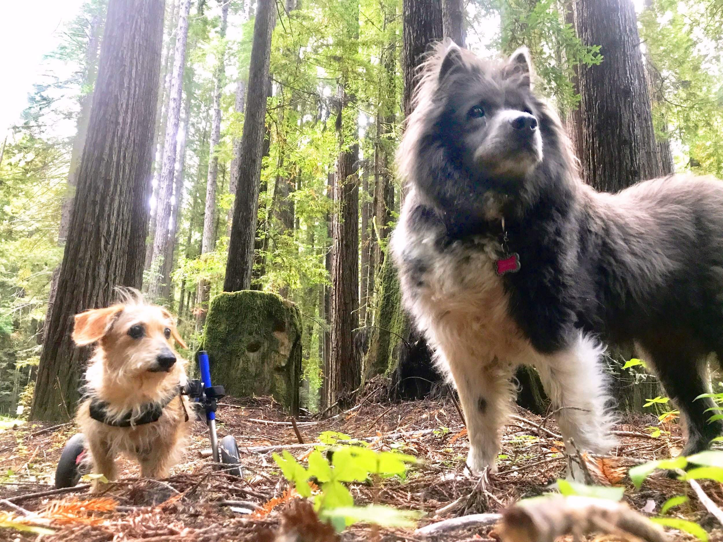 Charlie and his sister Ziggy Marie exploring a Redwood Forrest.