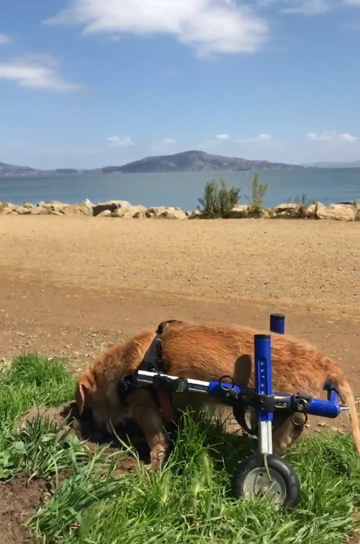 Charlie digging for friends at Crissy Field.