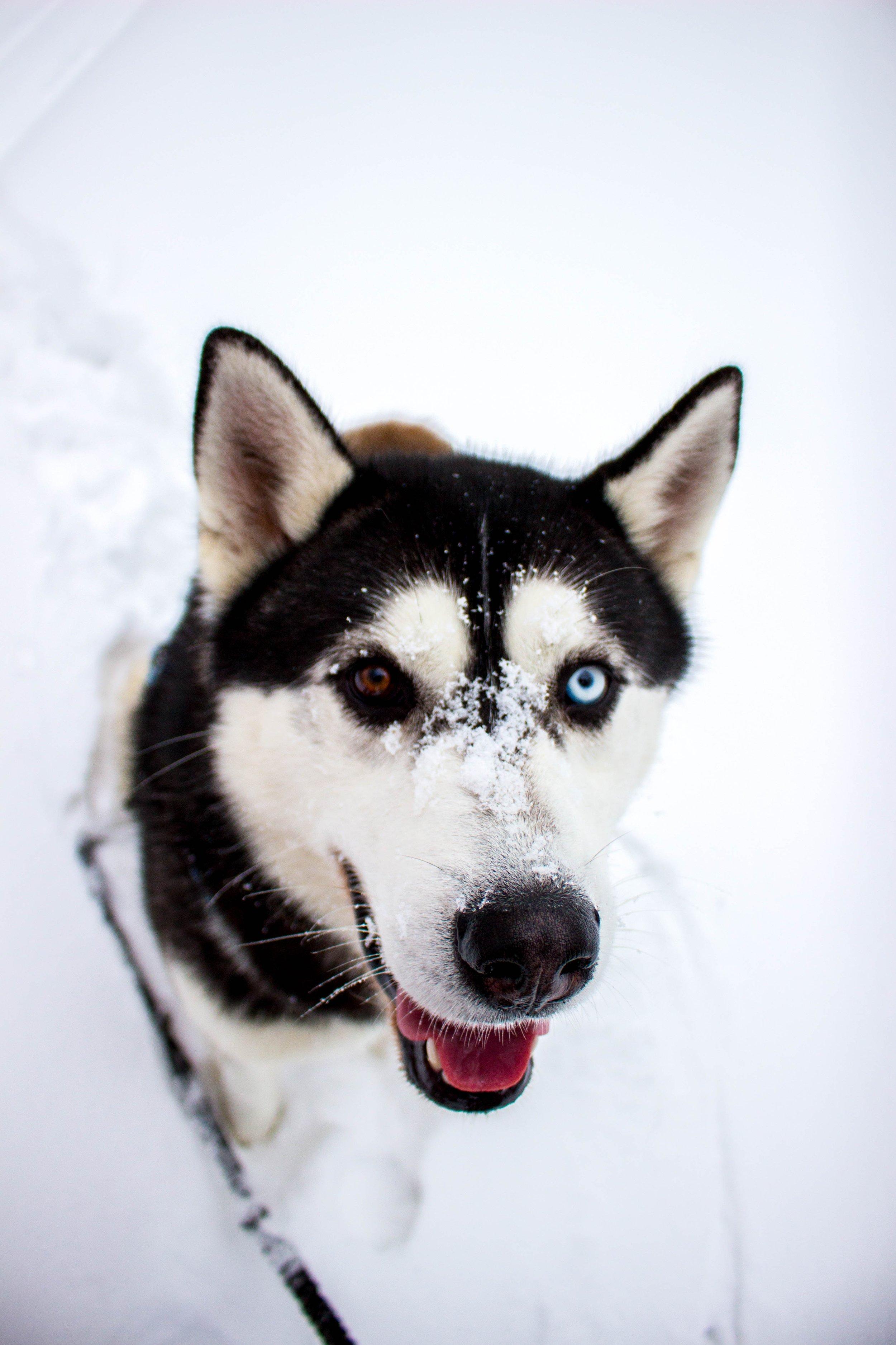 husky on snow.jpg