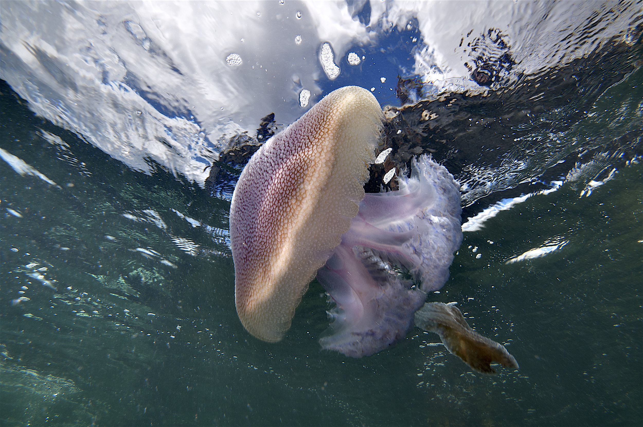Jelly fish (Pseudorhiza haeckeli)