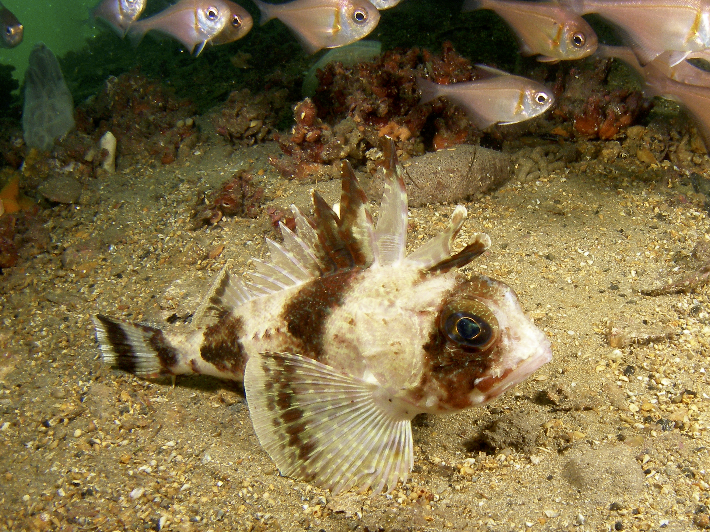 Common gurnard perch (Neosebastes scorpaenoides)