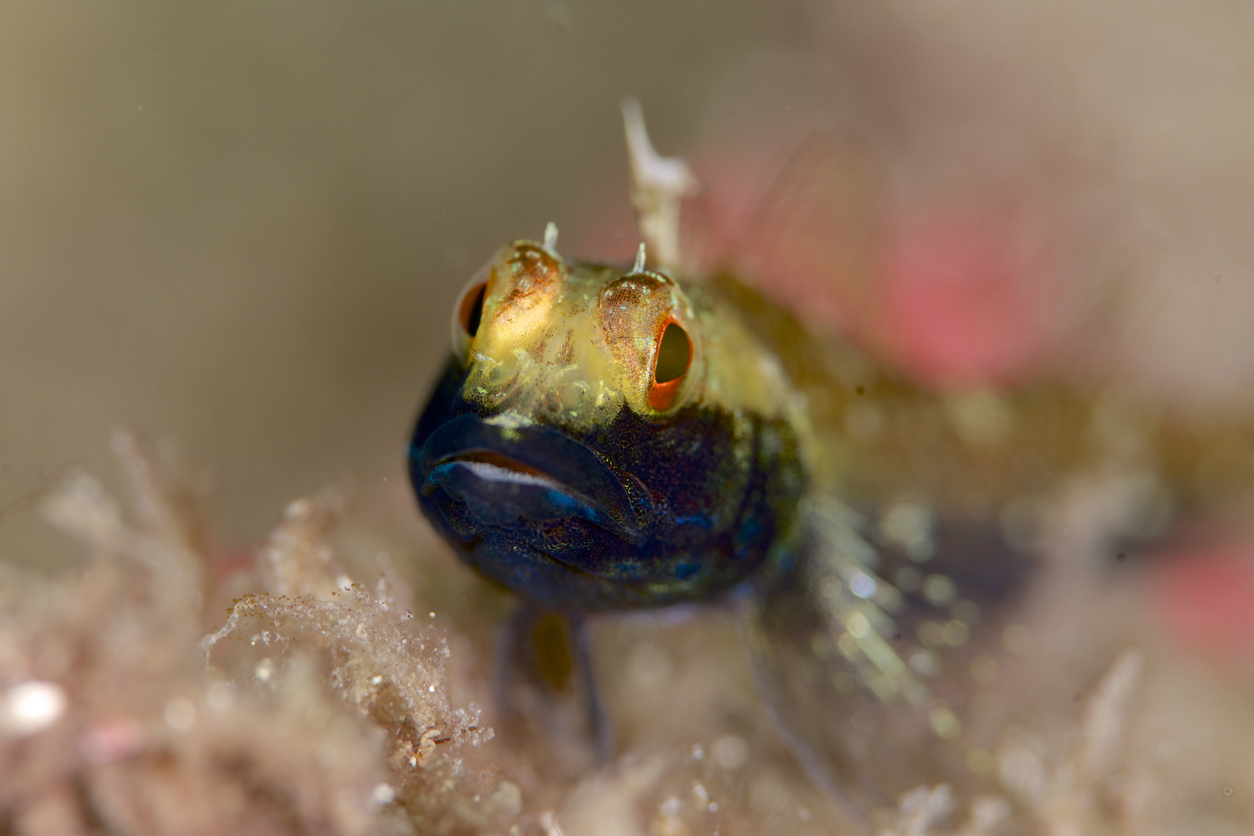 Southern triplefin (Helcogramma decurrens) Male