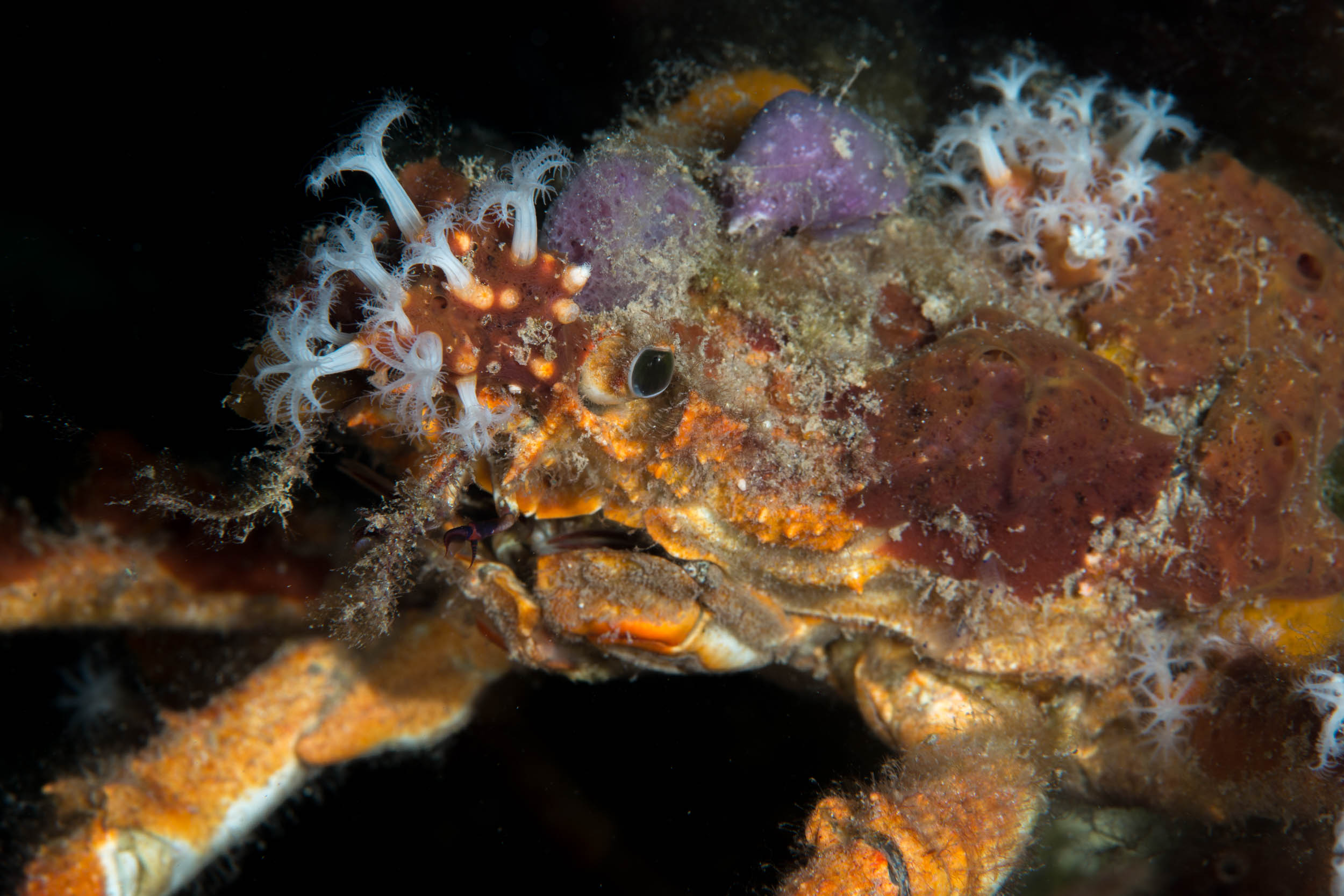 Decorator crab (Schizophrys ?)