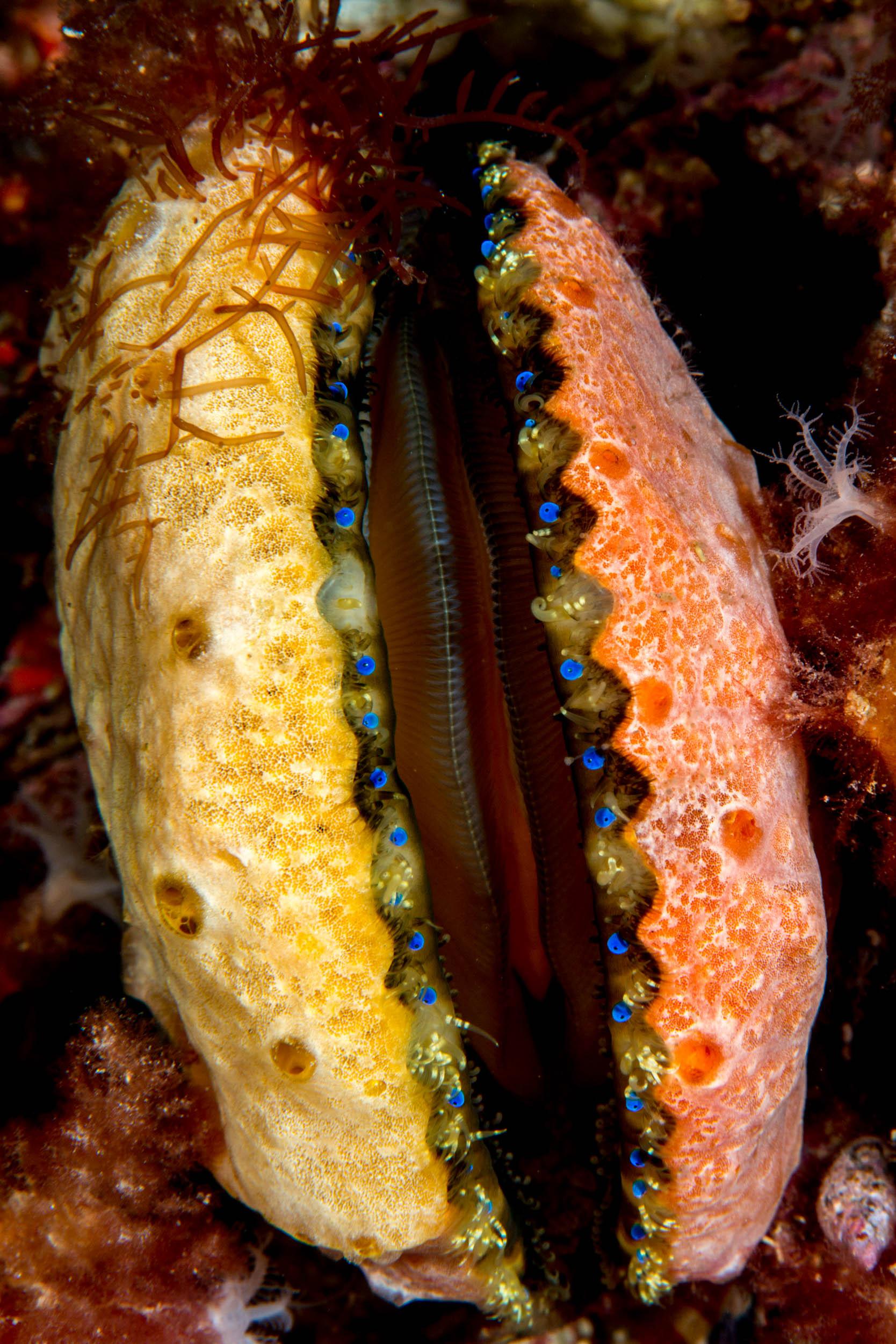 Doughboy scallop (Mimachlamys asperrima)