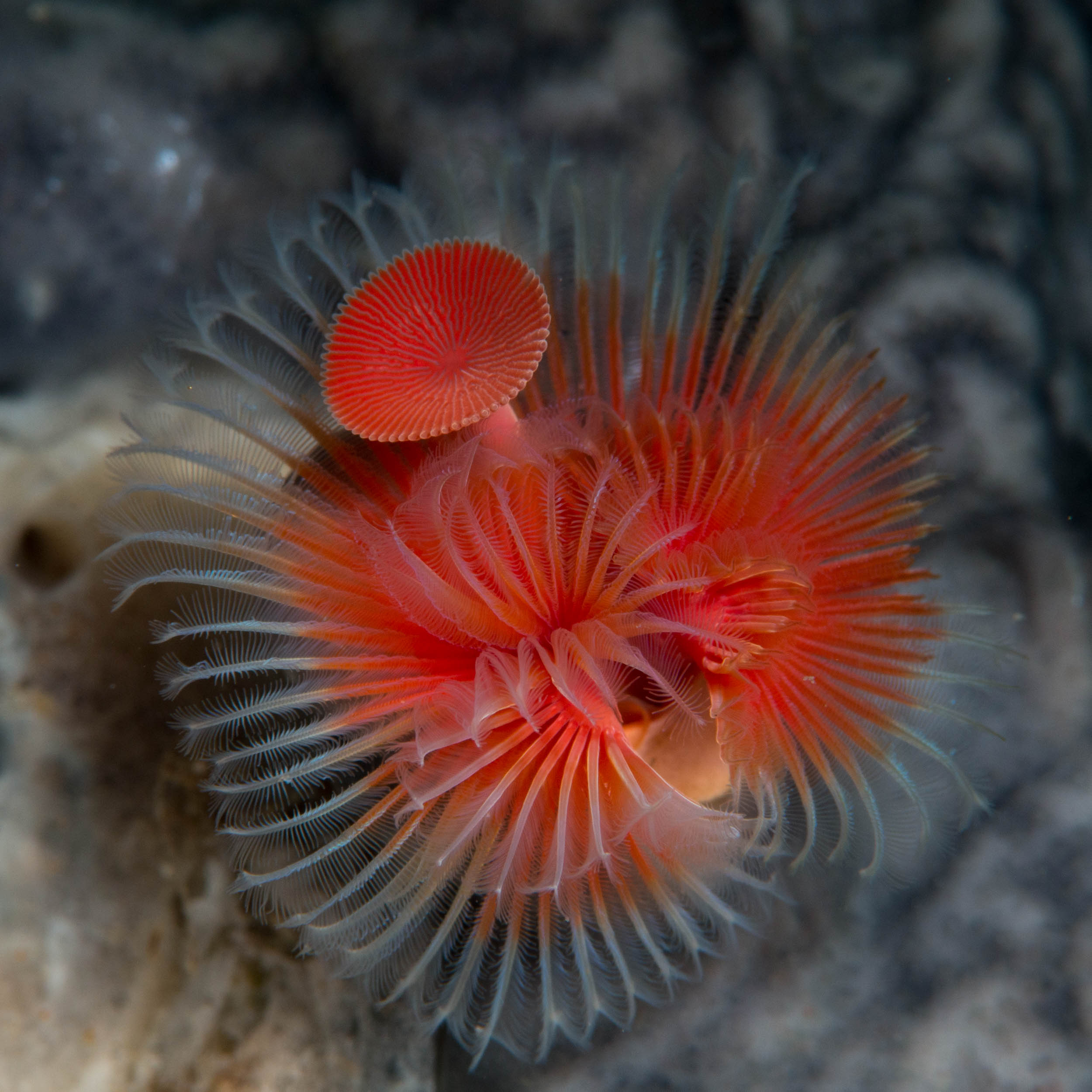 Tube worm (Serpula sp.)