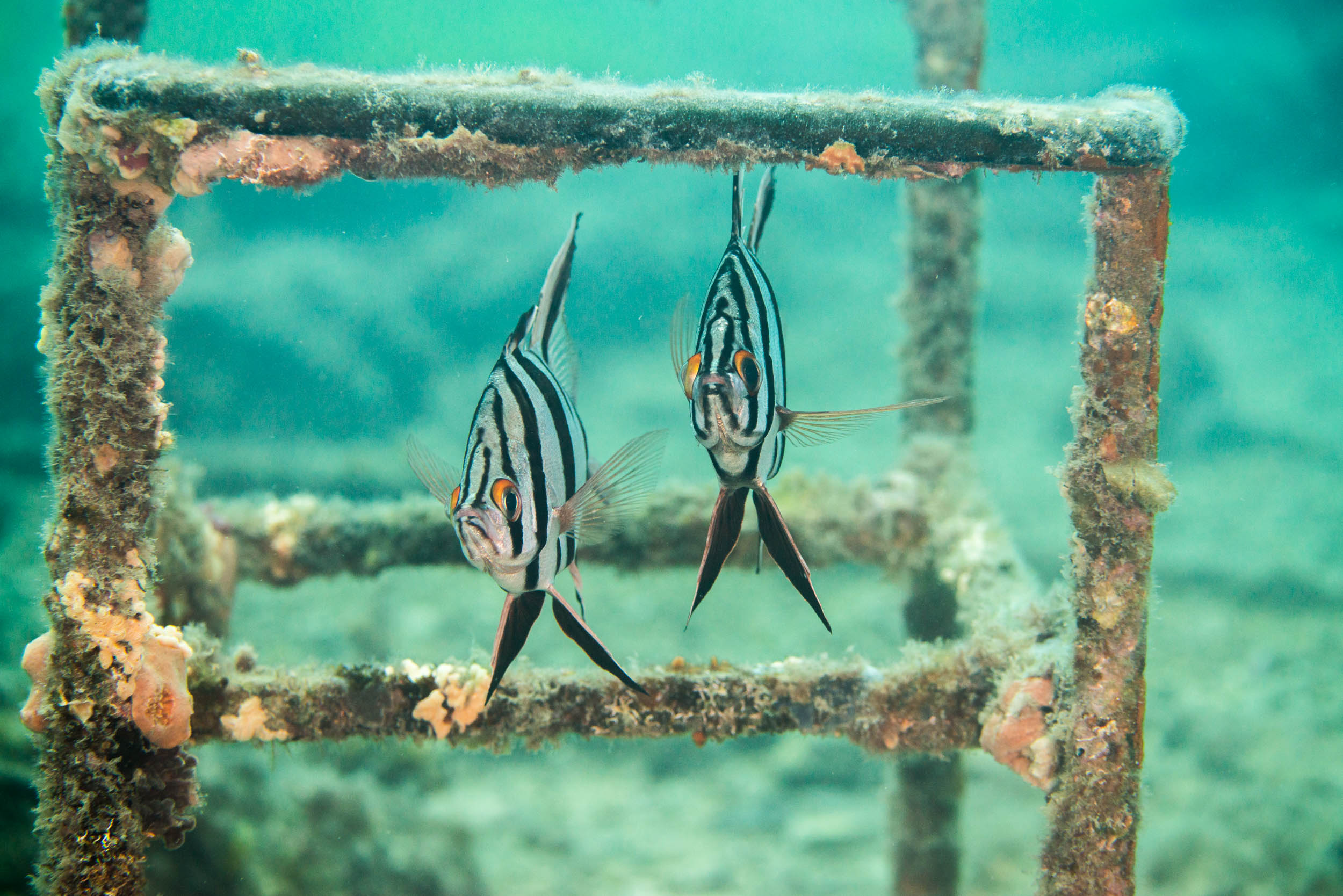 Old Wives (Enoplosus armatus)