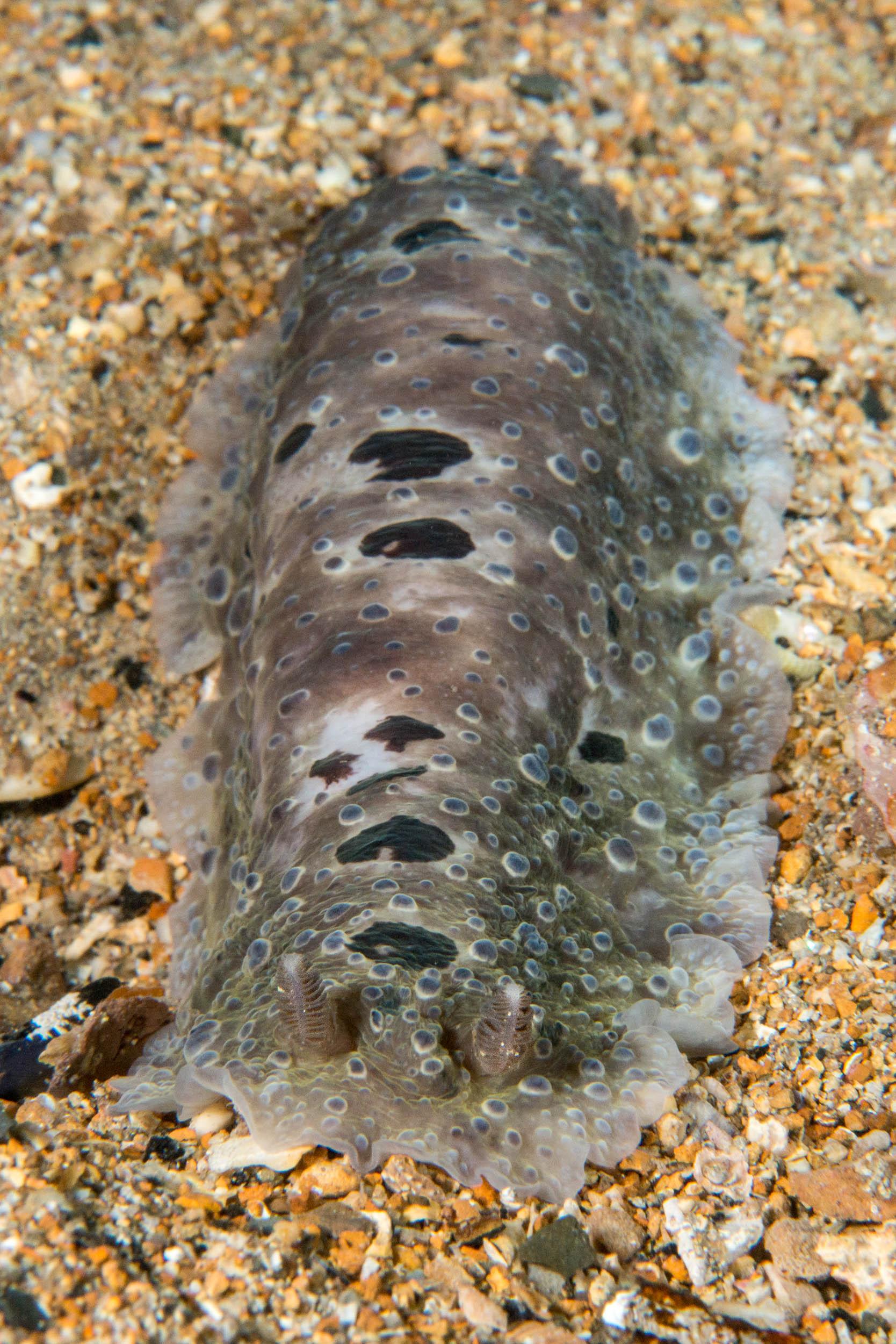 Nudibranch (Dendrodoris albopurpura)