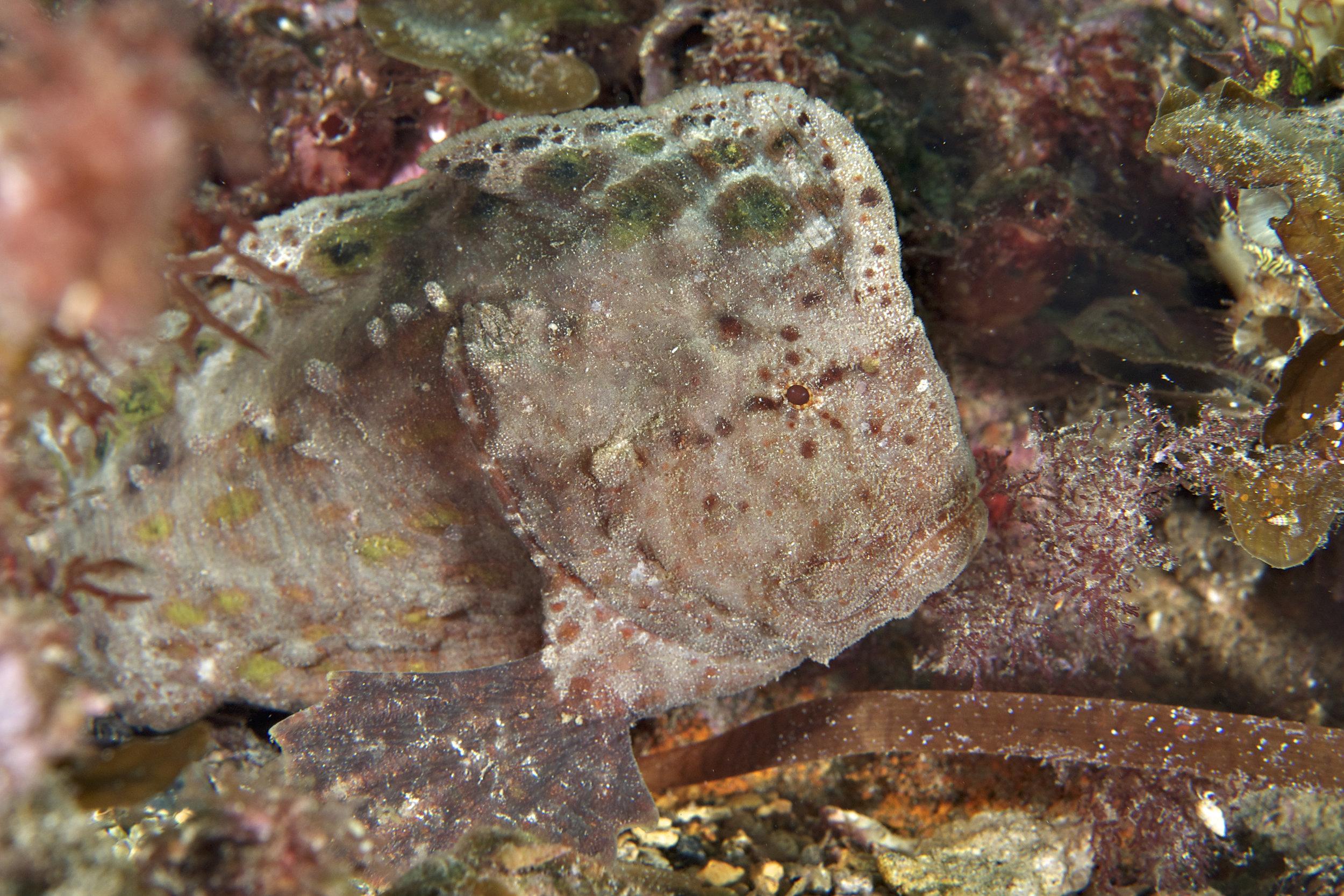 Warty prowfish (Aetapcus maculatus)