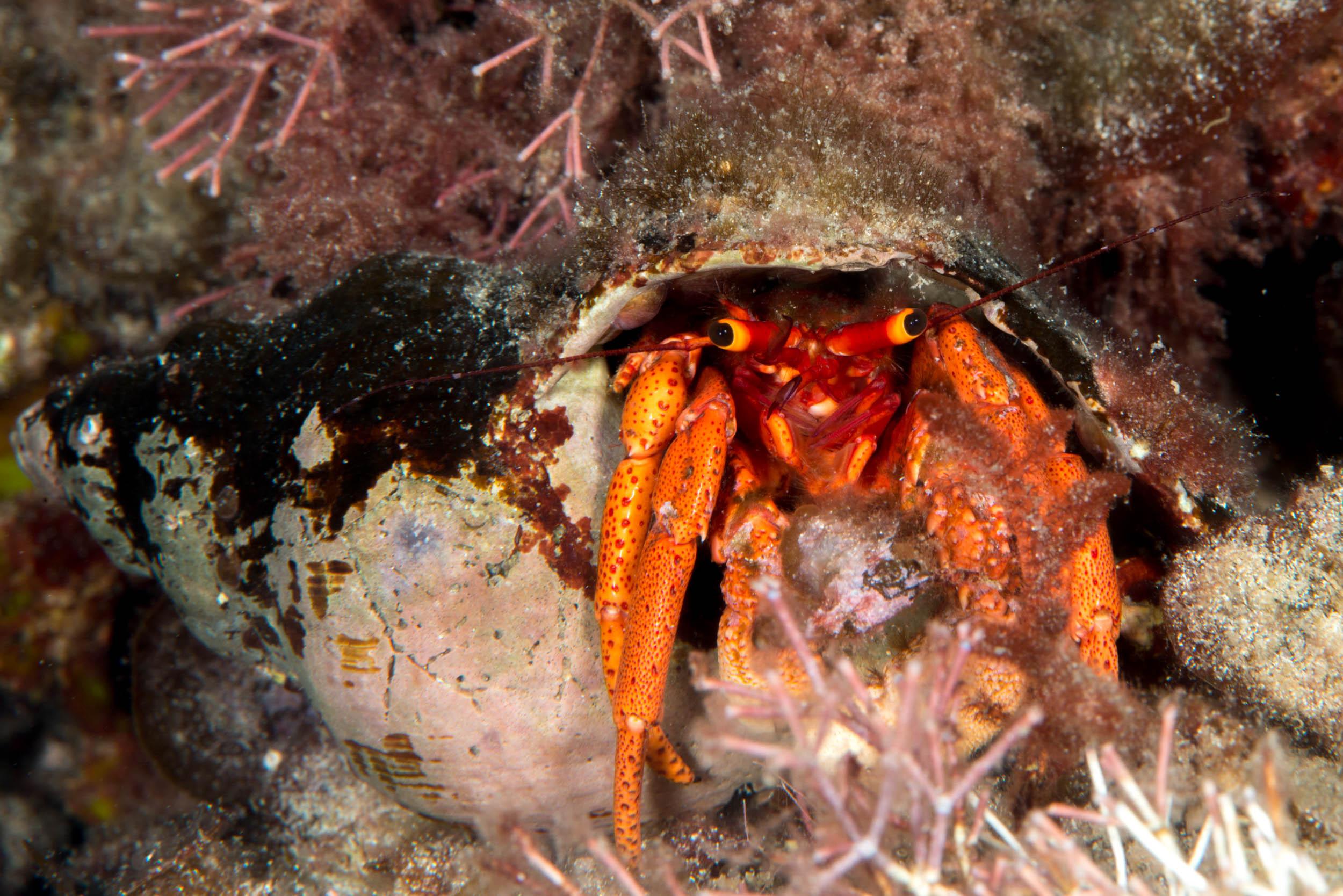 Hermit crab (Paguristes brevirostris)