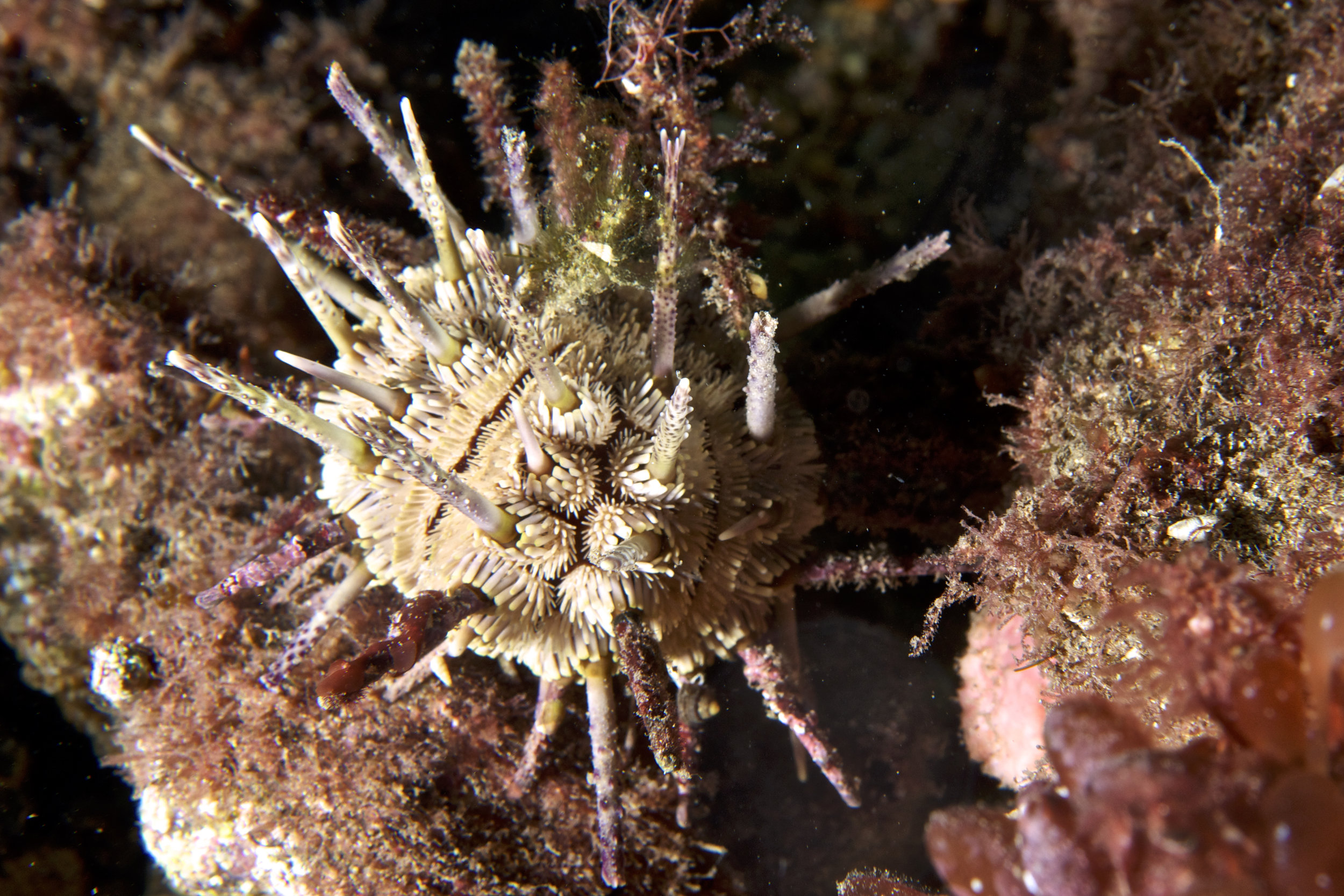 Sea urchin (Goniocidaris tubaria)