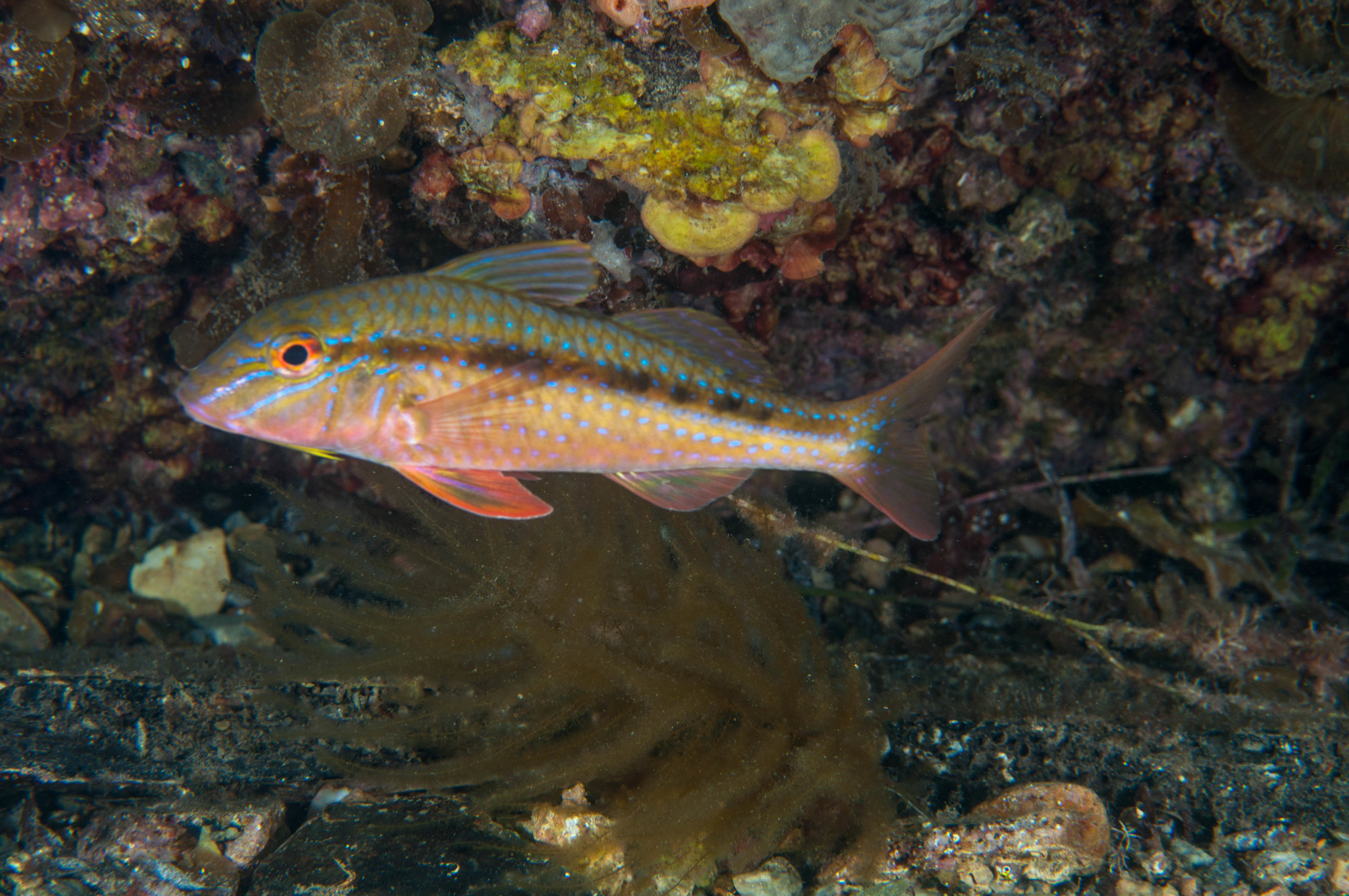 Blue-spotted goatfish or red mullet (Upeneichthys vlamingii)