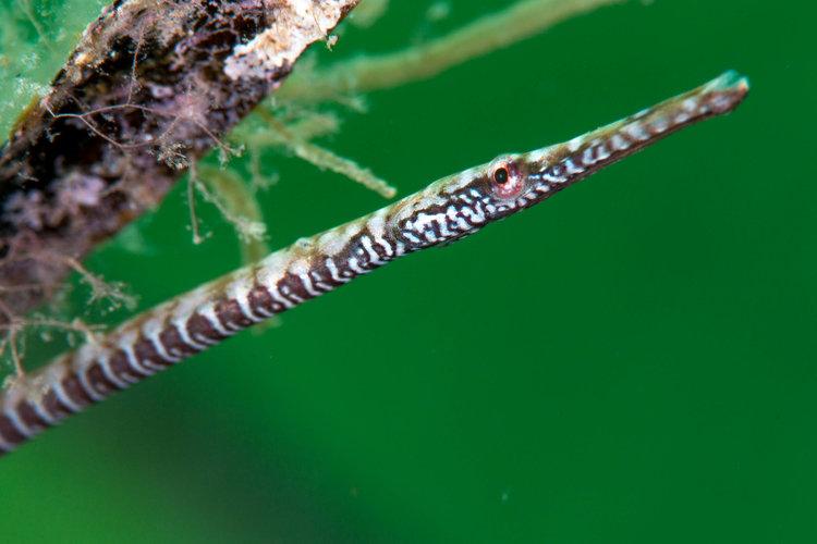 Southern Gulf pipefish (Stigmatopora narinosa)
