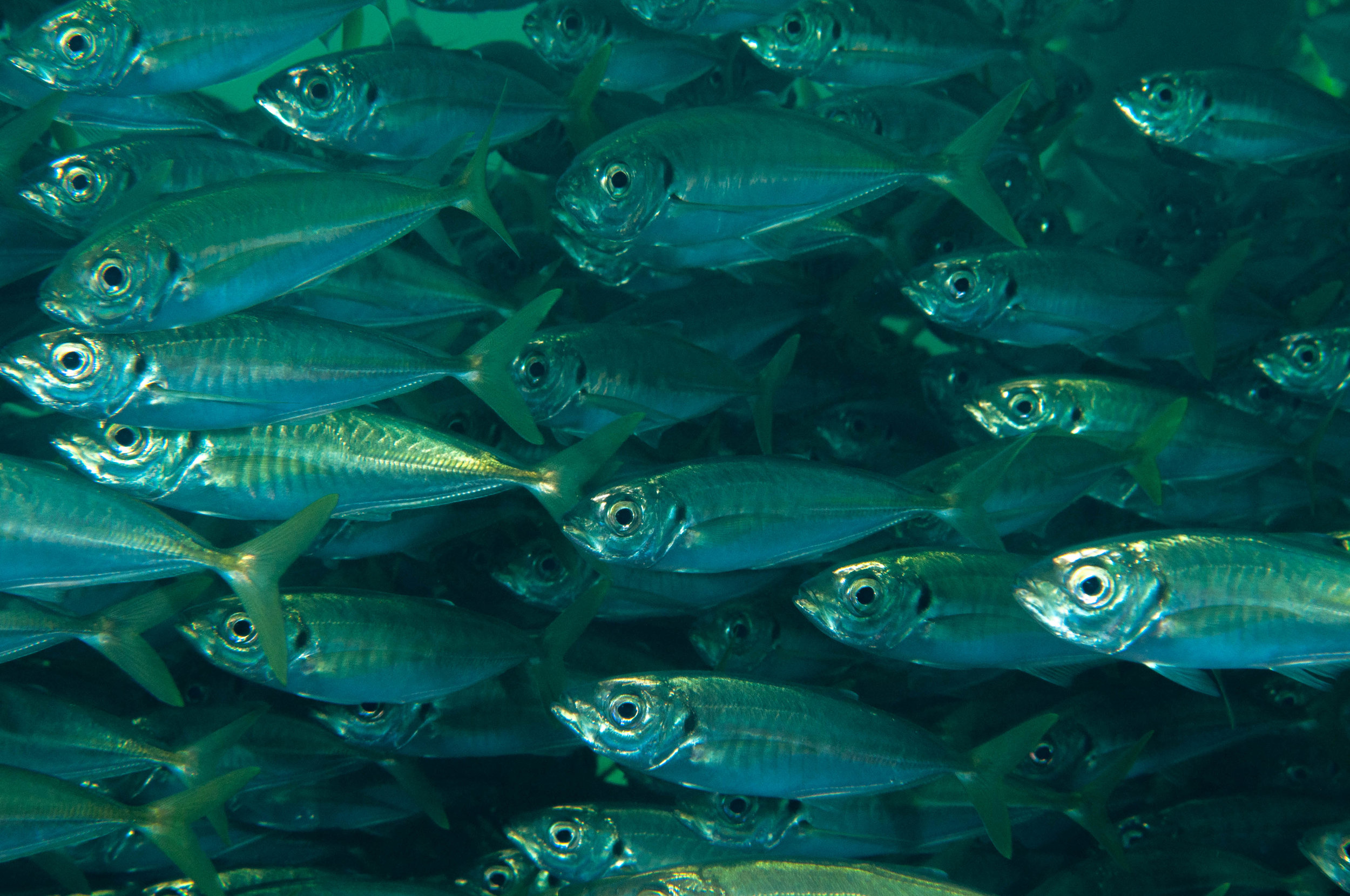 Horse mackerel (Trachurus declivis)