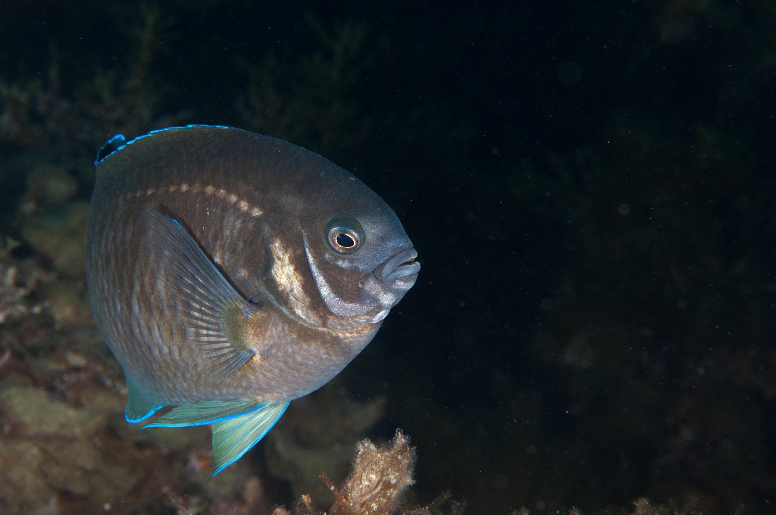 Scalyfin (Parma victoriae) Male