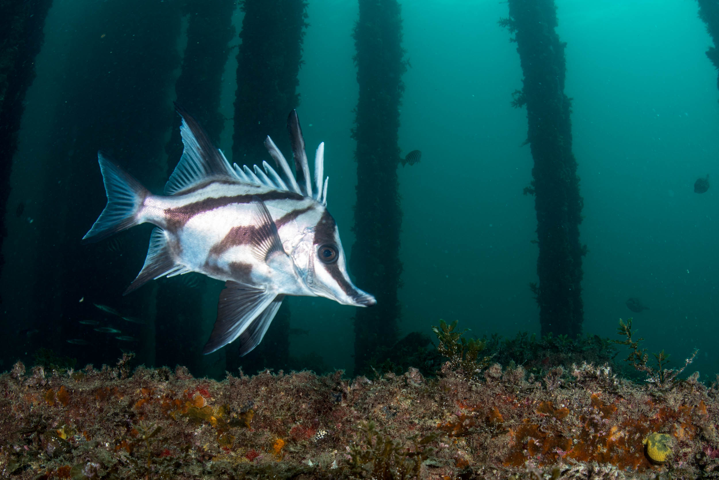 Long-snouted boarfish (Pentaceropsis recurvirostris)