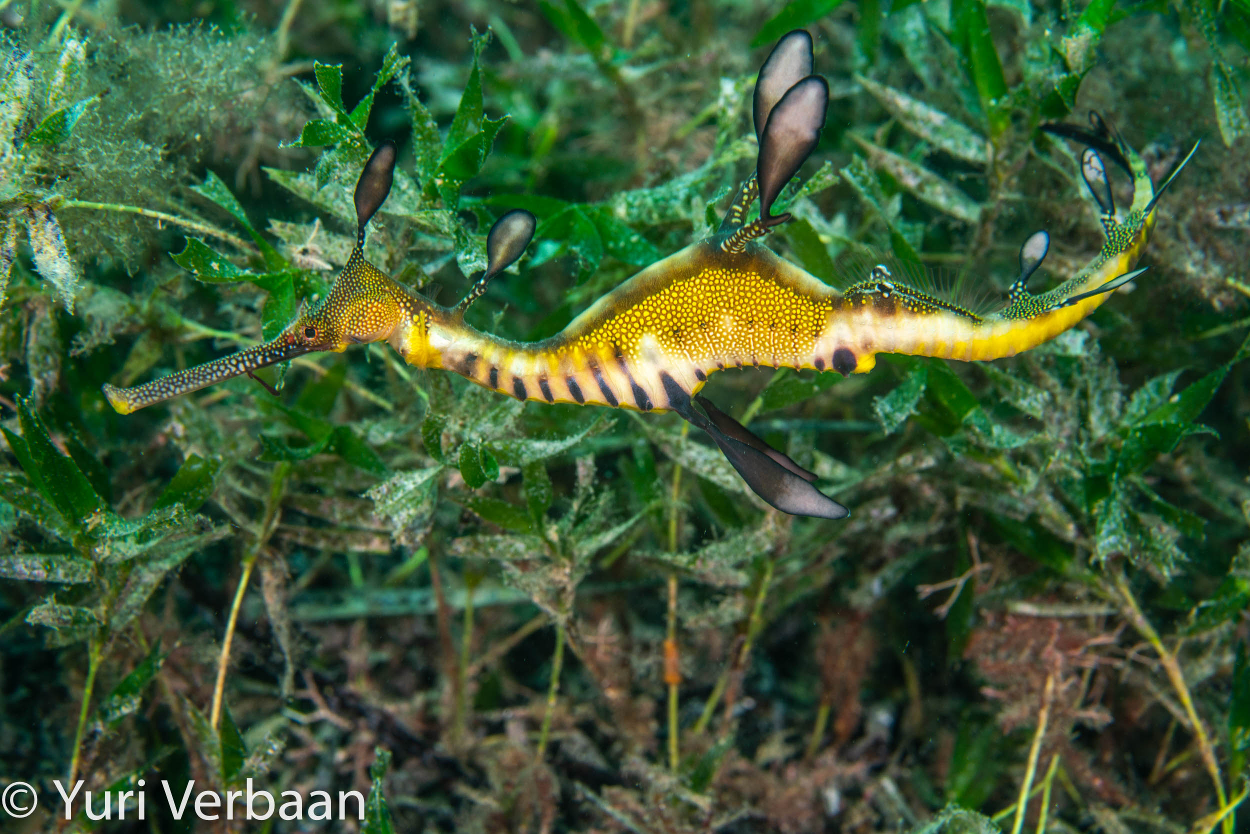 Common or Weedy seadragon (Phyllopteryx taeniolatus)
