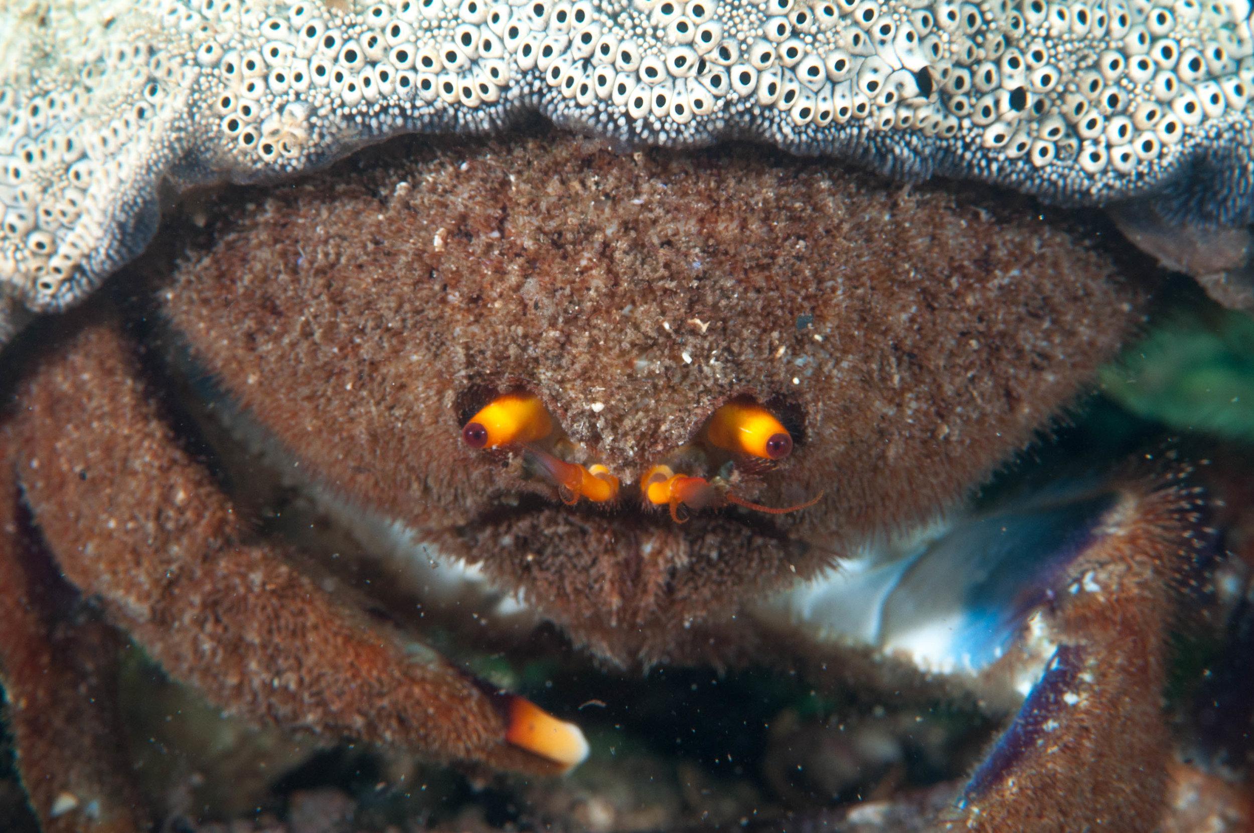 Sponge crab (austrodomidia octodentata)