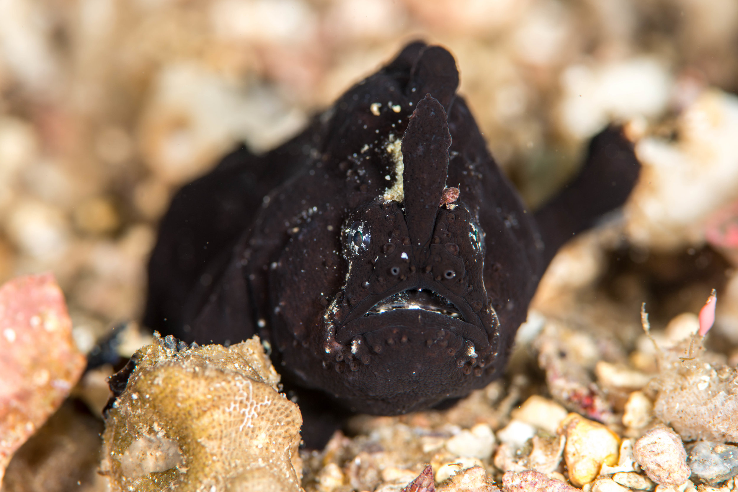 Smooth/White-spotted anglerfish (Phyllophryne scortea)