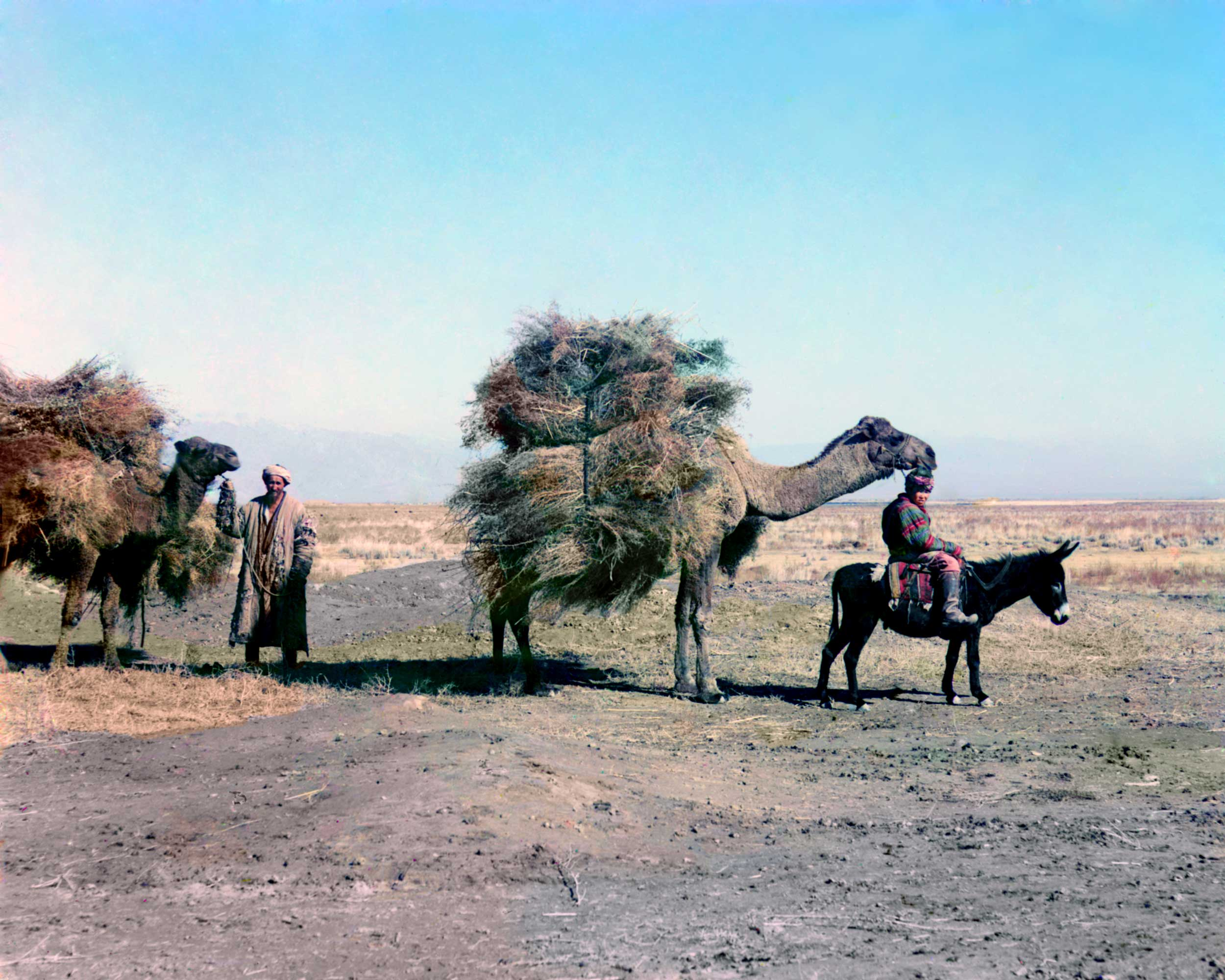 A camel caravan carrying thorns for fodder, Golodnaia Steppe