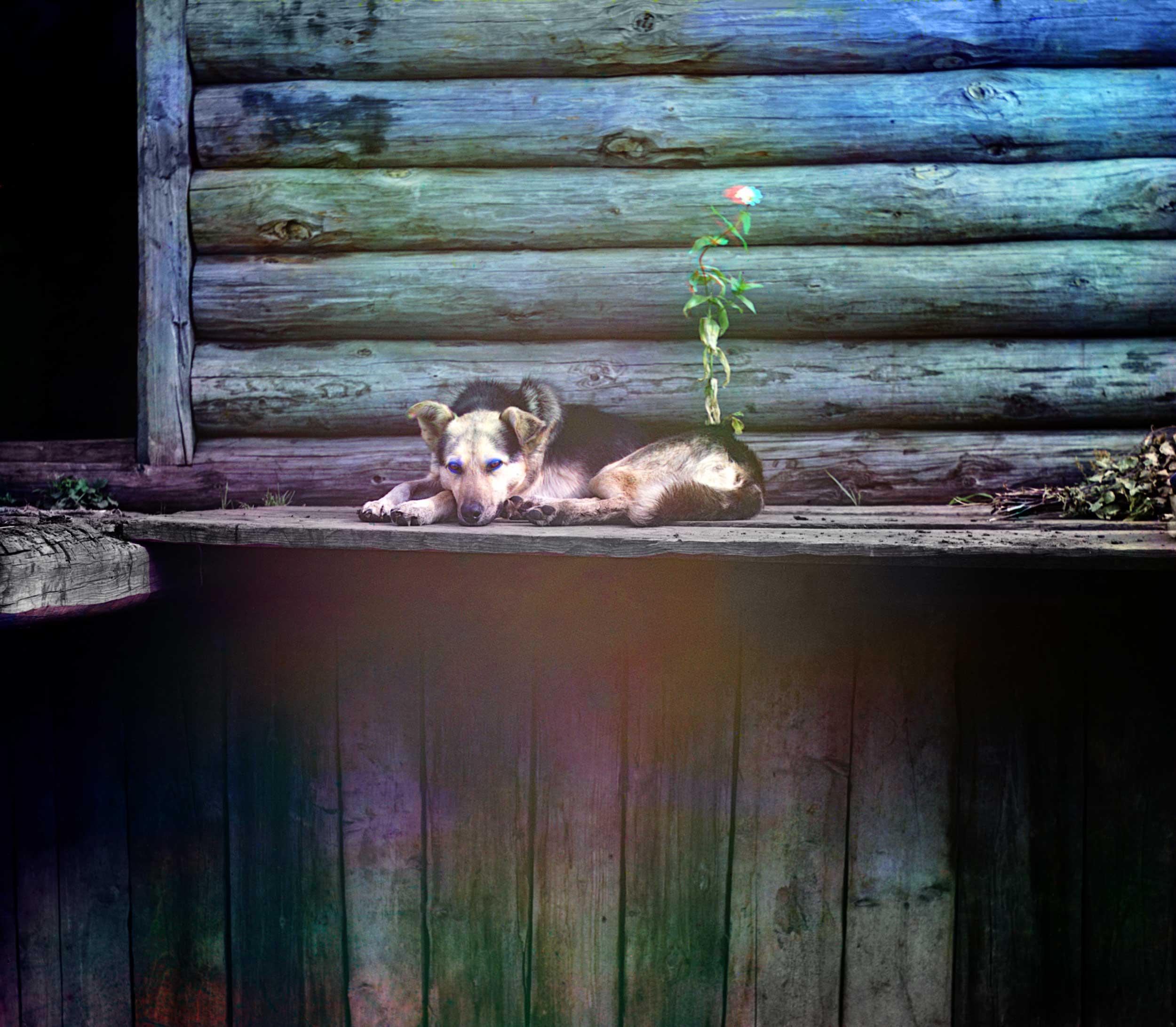 1910 - A Bashkir dog