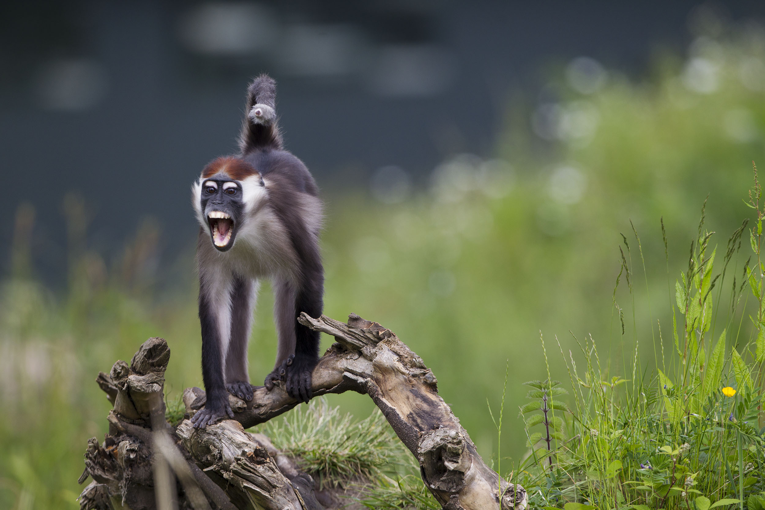 Red Capped Mangabey