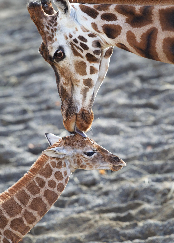 Animals_Giraffe_Bolger_Photography.jpg
