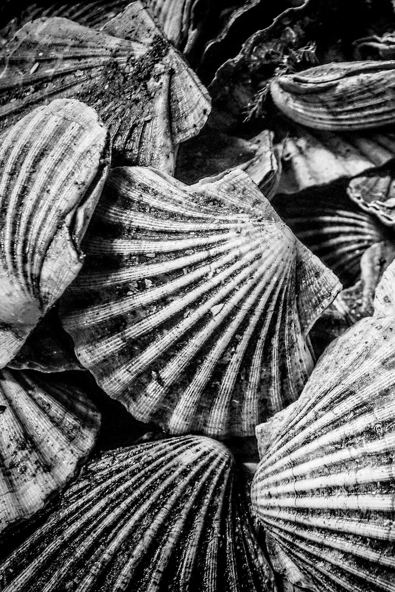 Clams-in-black-and-white.jpg