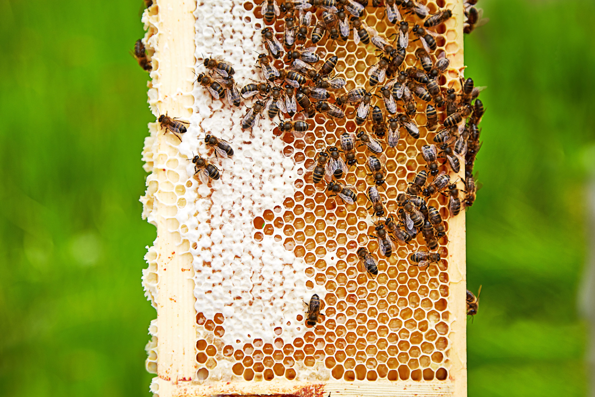 Bees-and-honeycomb-frame.jpg