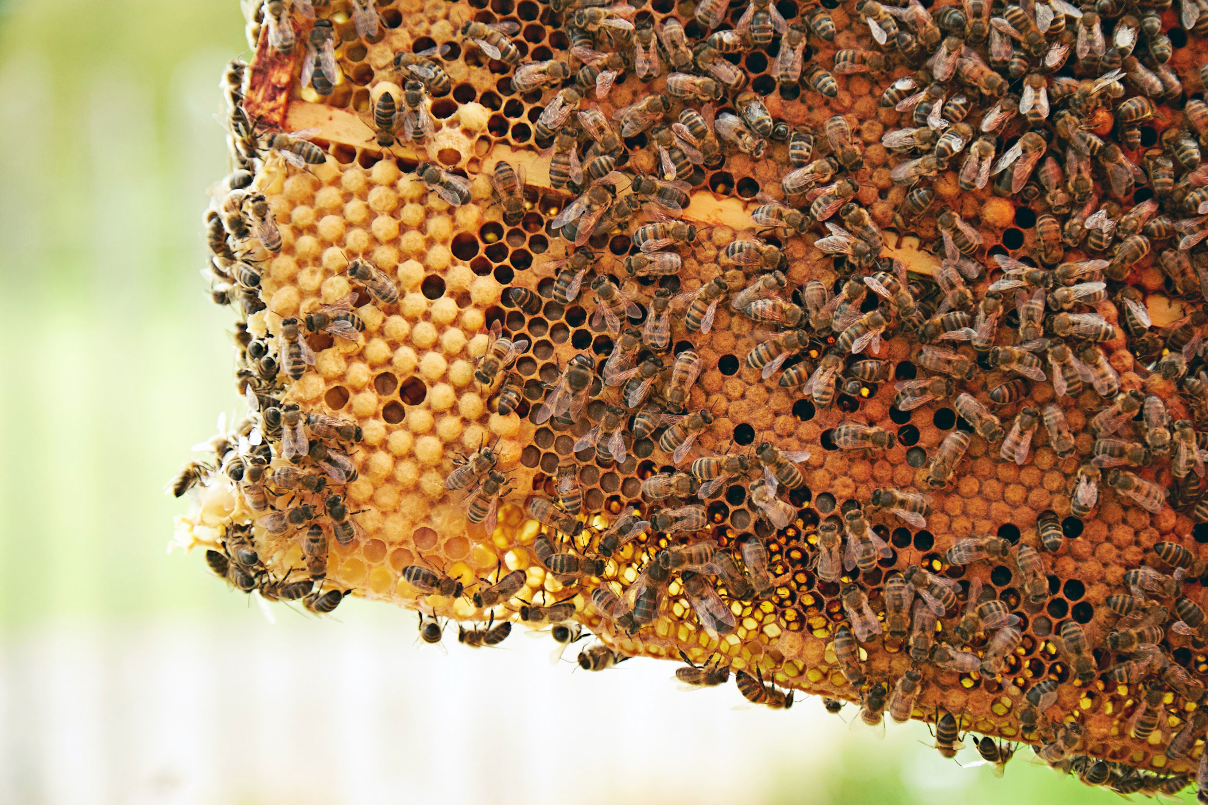 Bees-and-honeycomb.jpg