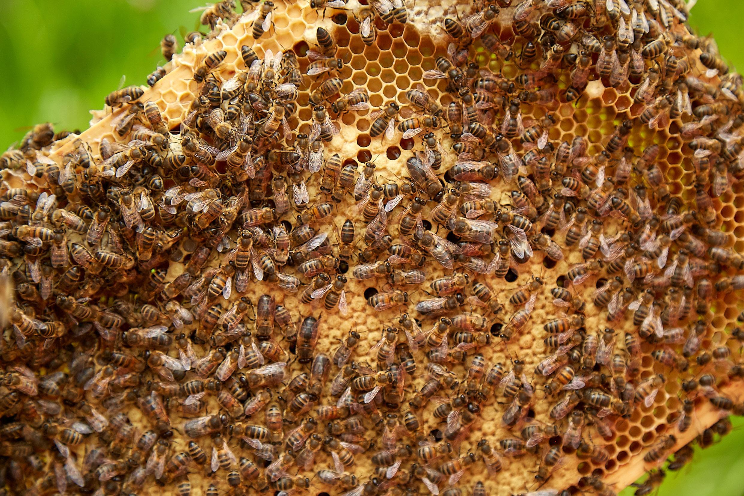Honey-bees-and-honeycomb.jpg