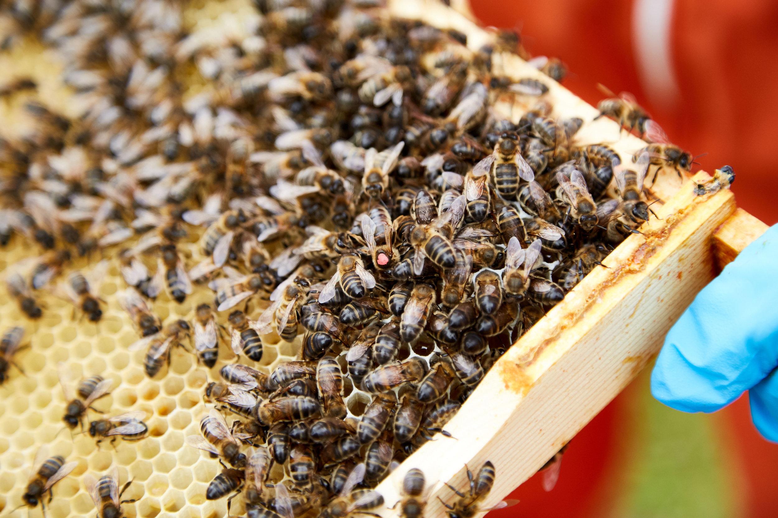 Bee-Keeping490May-19-2019.jpg